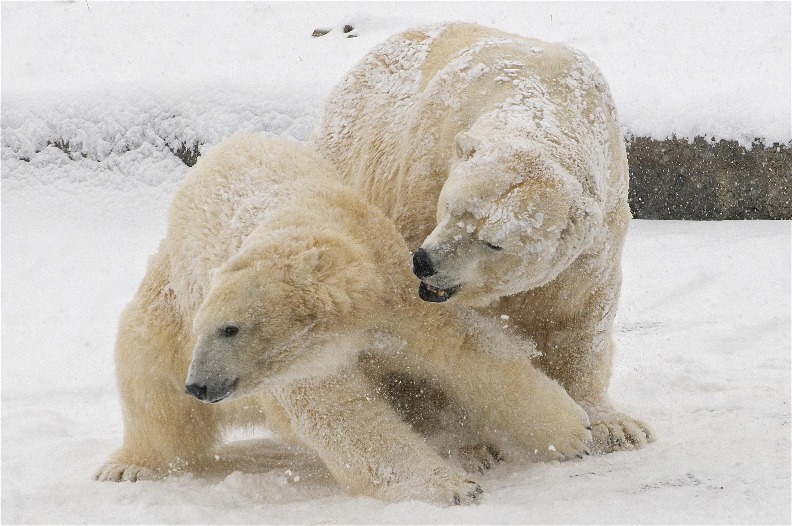 93952 Заставки и Обои Медведи на телефон. Скачать Животные, Зима, Снег, Медведи, Белые Медведи картинки бесплатно