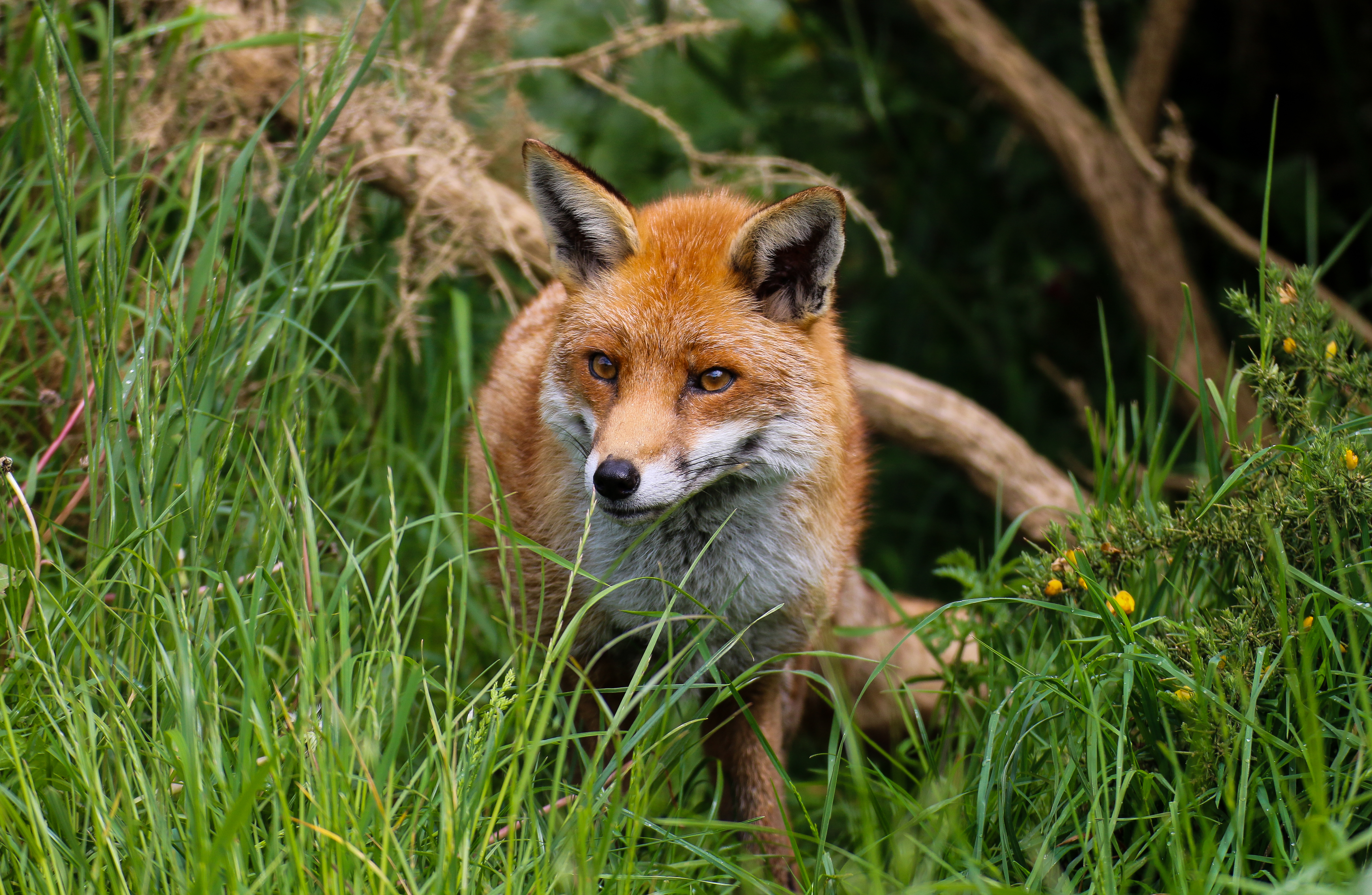134277 download wallpaper Animals, Fox, Predator, Nice, Sweetheart, Beast screensavers and pictures for free