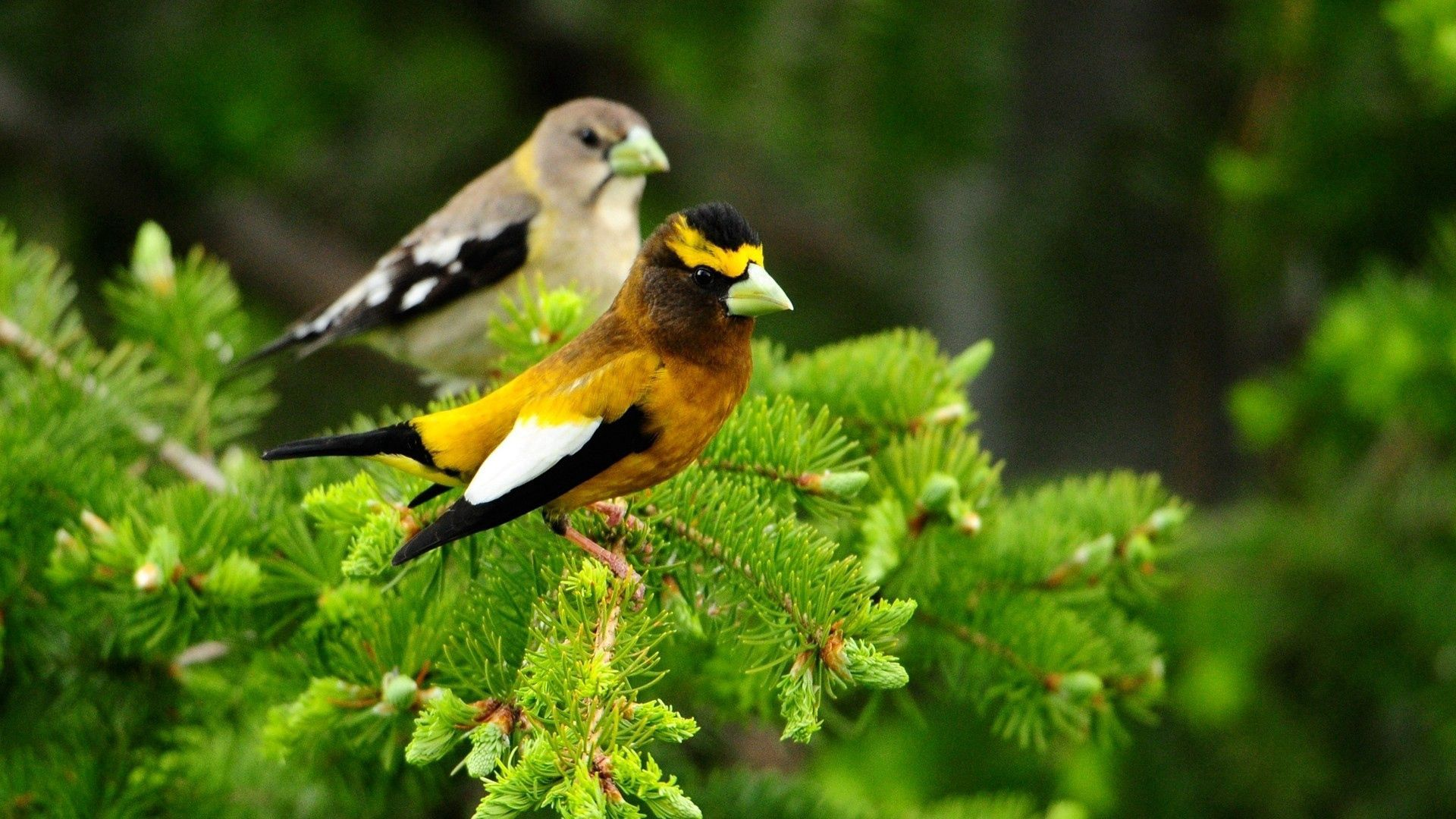 72970 download wallpaper Animals, Couple, Pair, Branch, Sit, Leaves, Birds screensavers and pictures for free