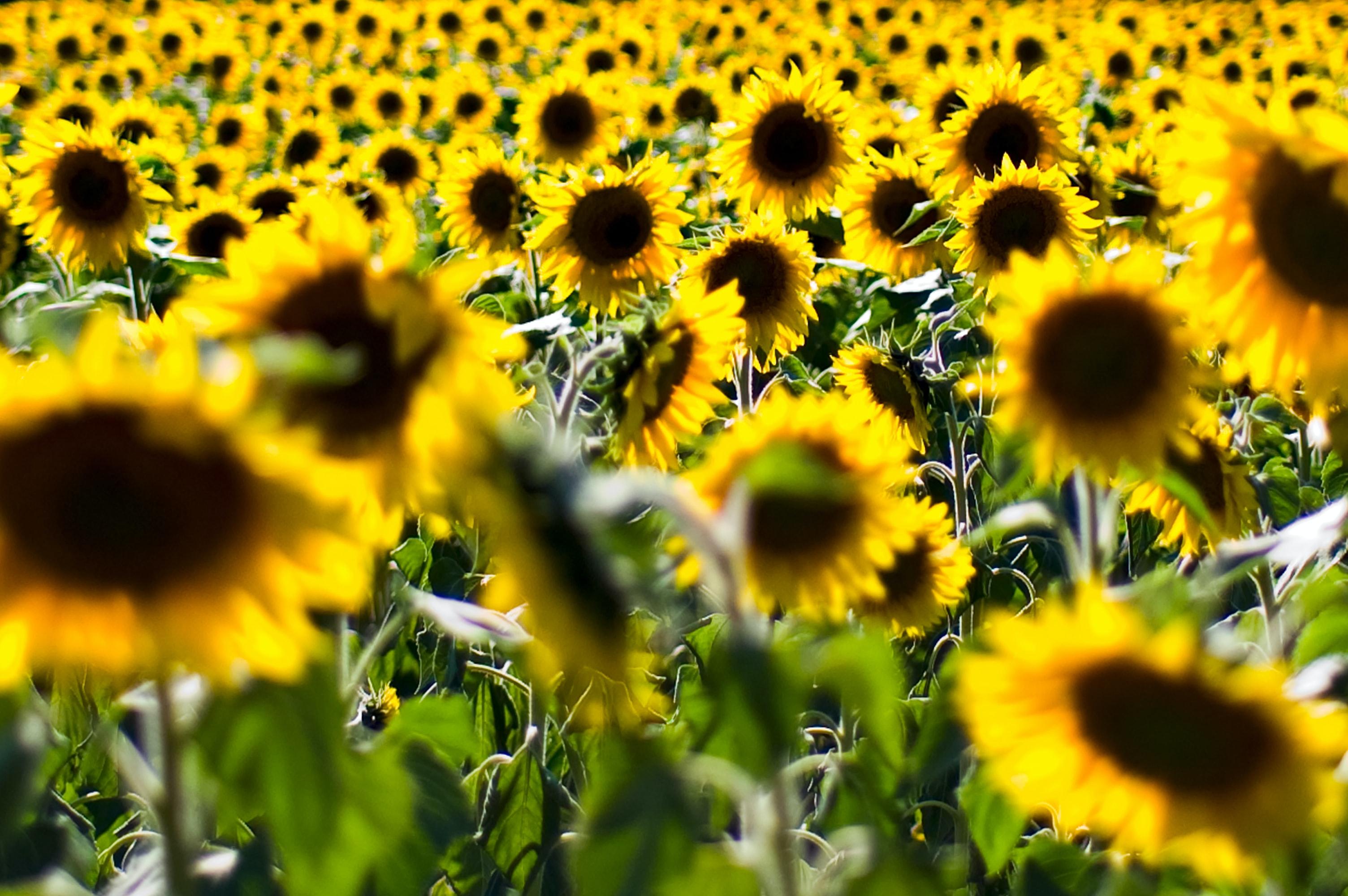 140737 скачать обои Цветы, Растение, Поле, Желтый, Подсолнухи - заставки и картинки бесплатно