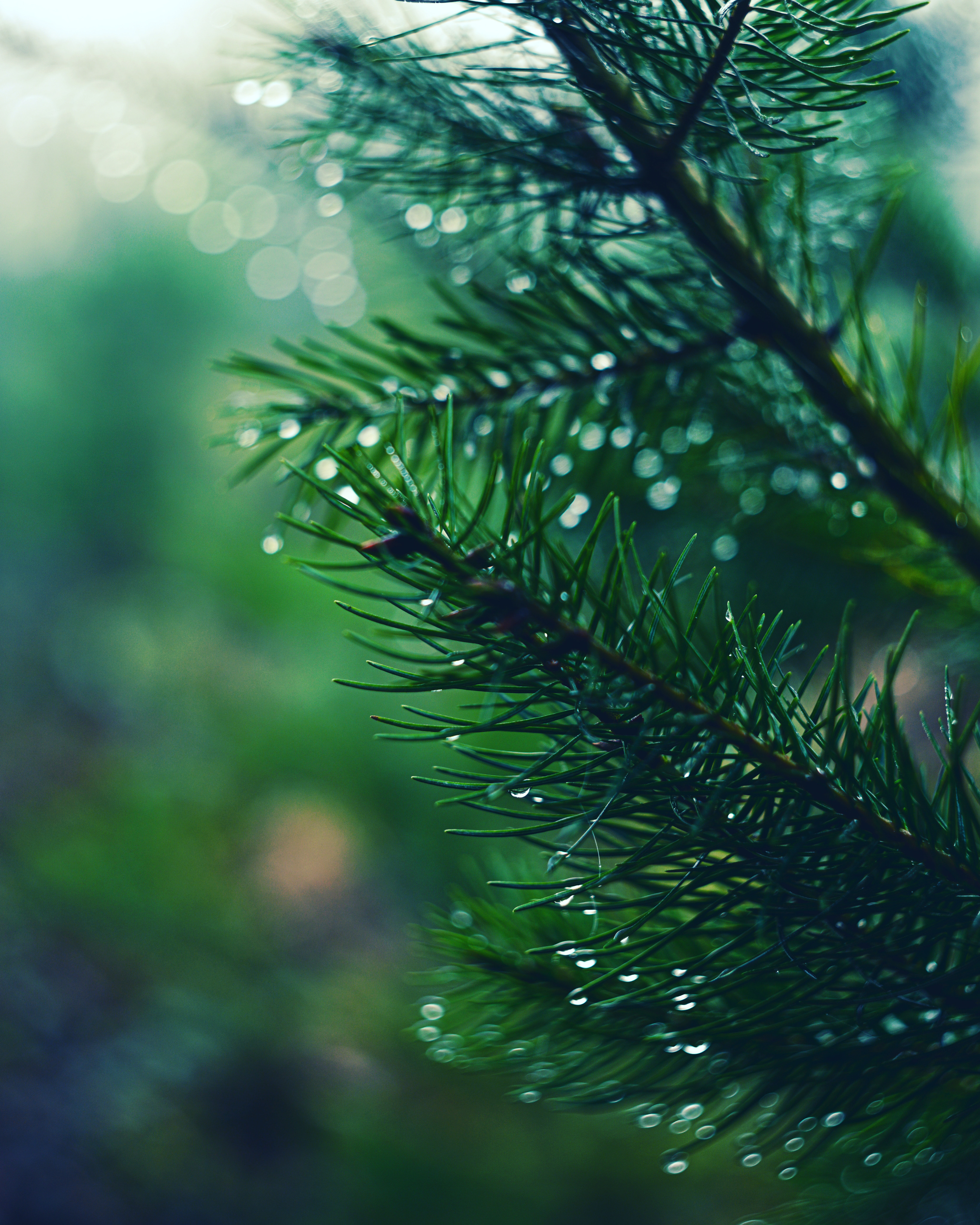 55744 Screensavers and Wallpapers Spruce for phone. Download Drops, Macro, Branch, Spruce, Fir, Needles pictures for free