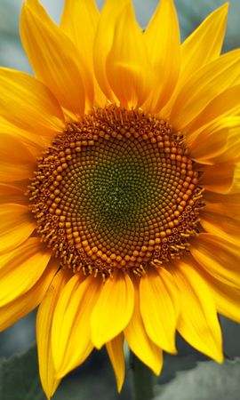 24369 télécharger le fond d'écran Plantes, Fleurs, Tournesols - économiseurs d'écran et images gratuitement