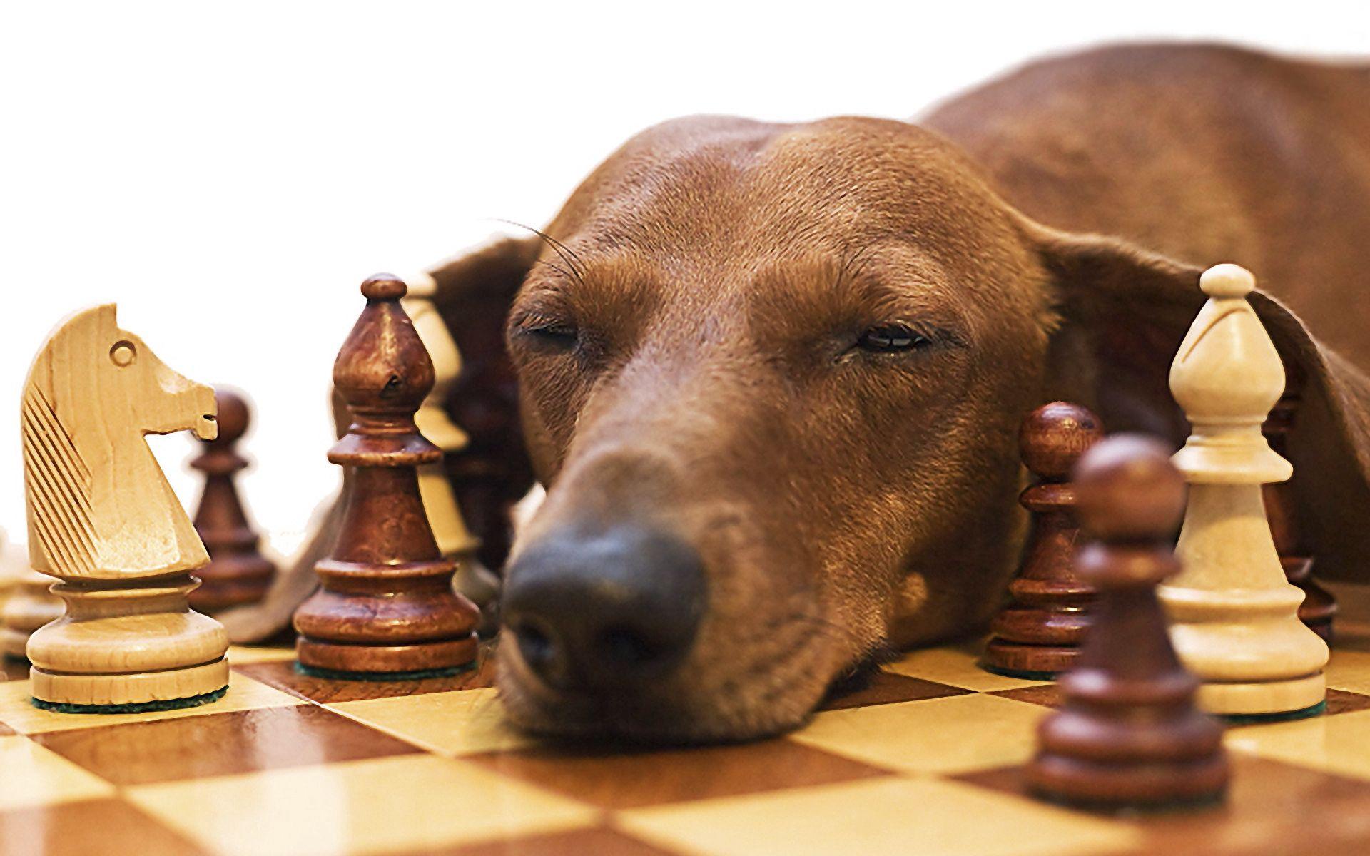 151067 Hintergrundbild herunterladen Tiere, Chess, Hund, Schnauze, Dackel, Ermüden, Müdigkeit - Bildschirmschoner und Bilder kostenlos