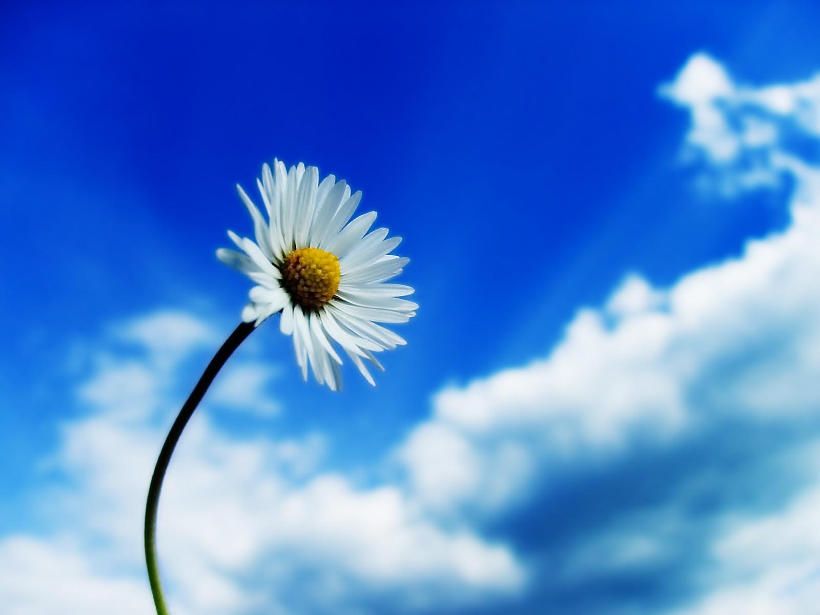 10517 скачать обои Растения, Цветы, Ромашки - заставки и картинки бесплатно