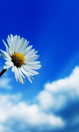 10517 descargar fondo de pantalla Plantas, Flores, Camomila: protectores de pantalla e imágenes gratis