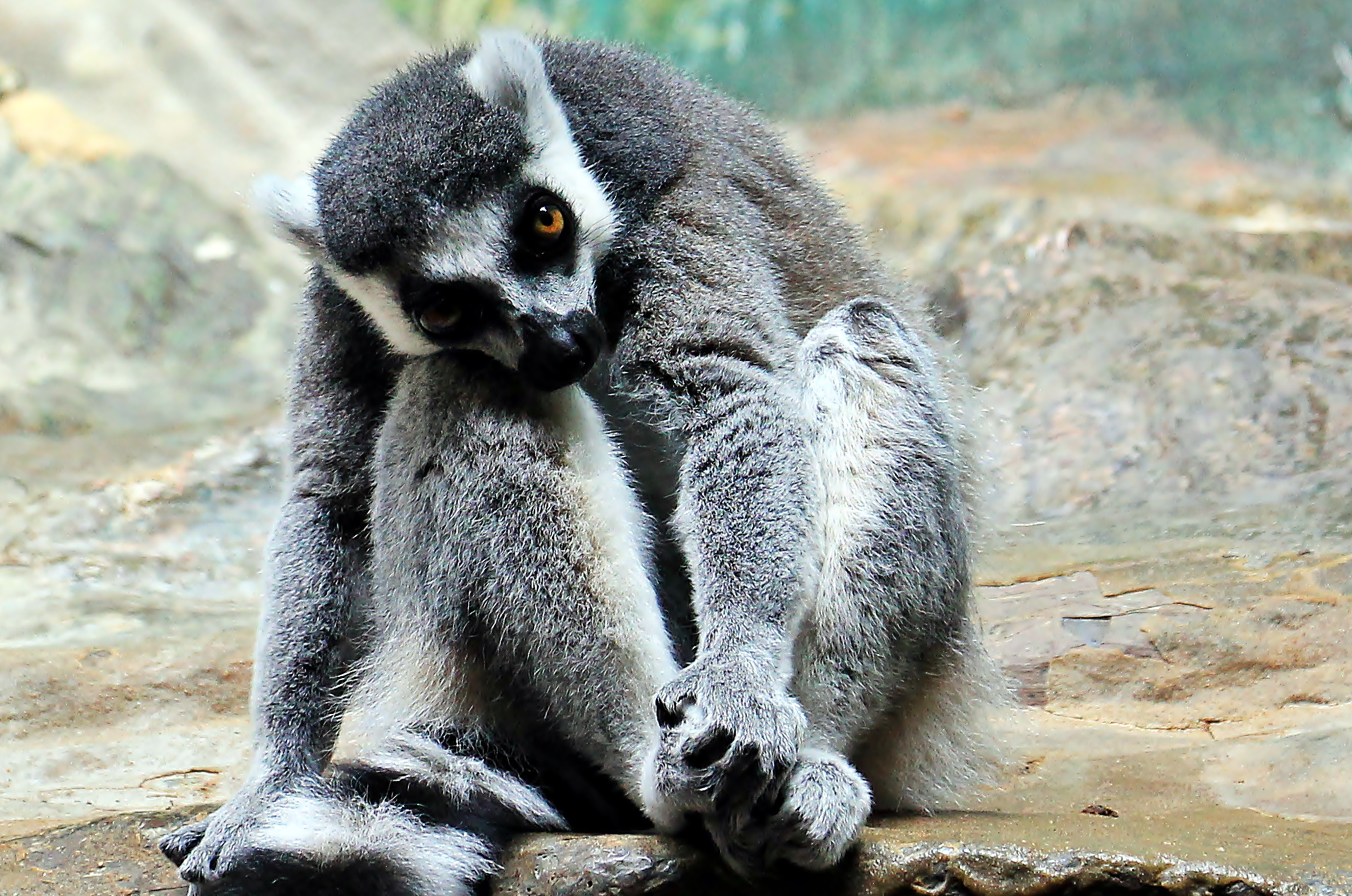 85898 download wallpaper Animals, Lemur, Beast, Striped, Sit screensavers and pictures for free