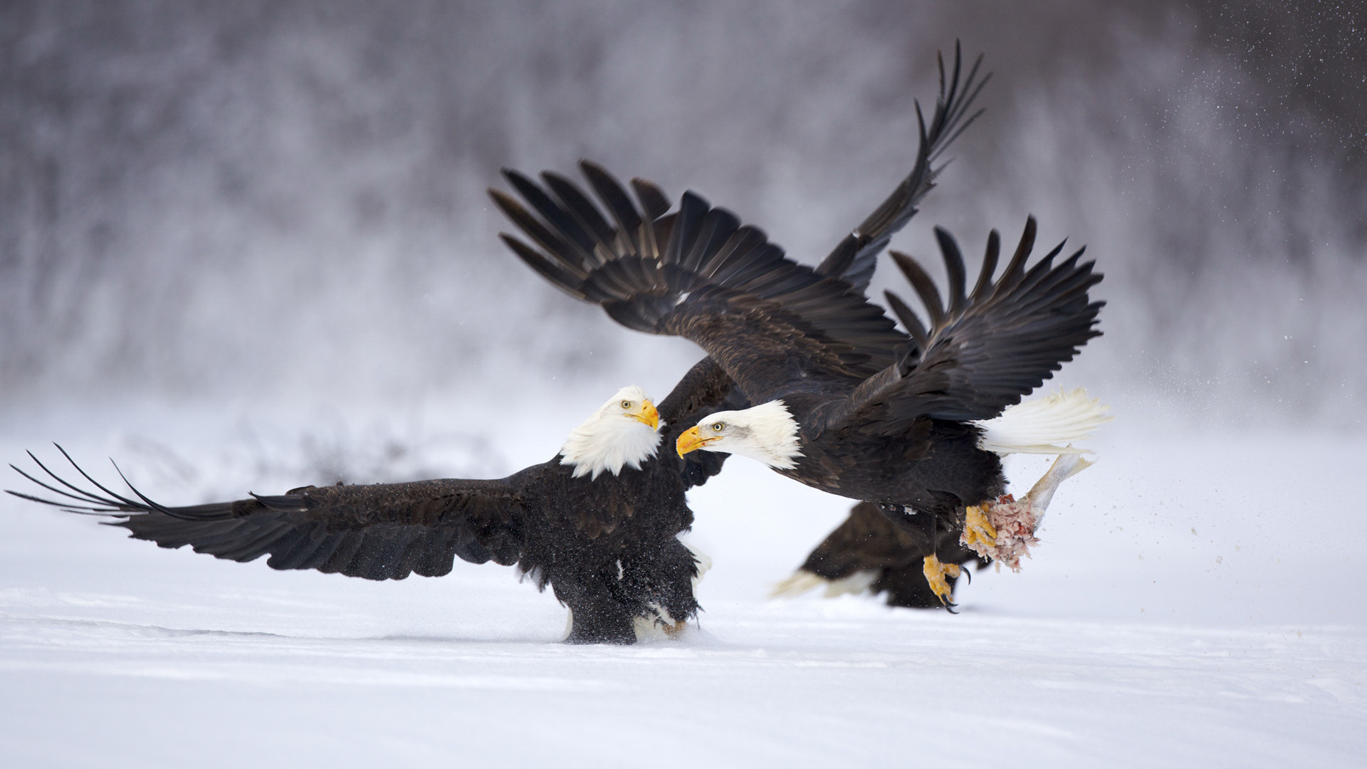 43865 download wallpaper Animals, Birds, Eagles screensavers and pictures for free