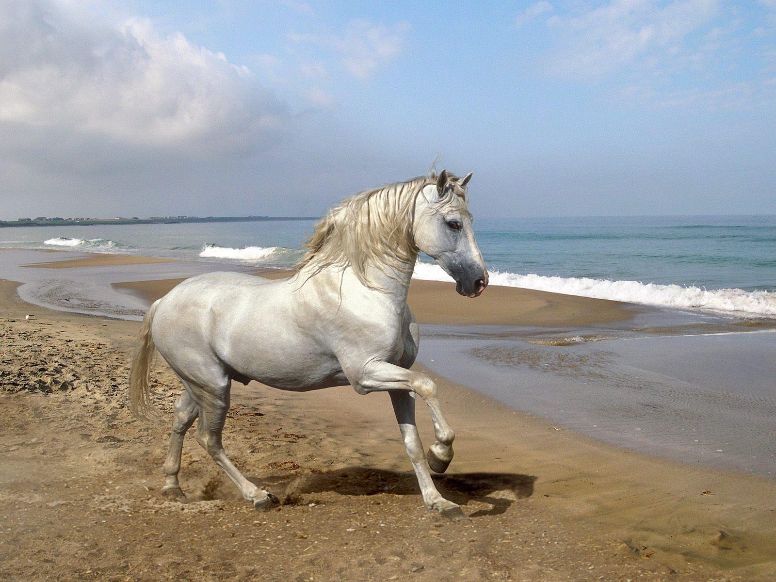 2757 скачать обои Животные, Лошади, Пляж - заставки и картинки бесплатно