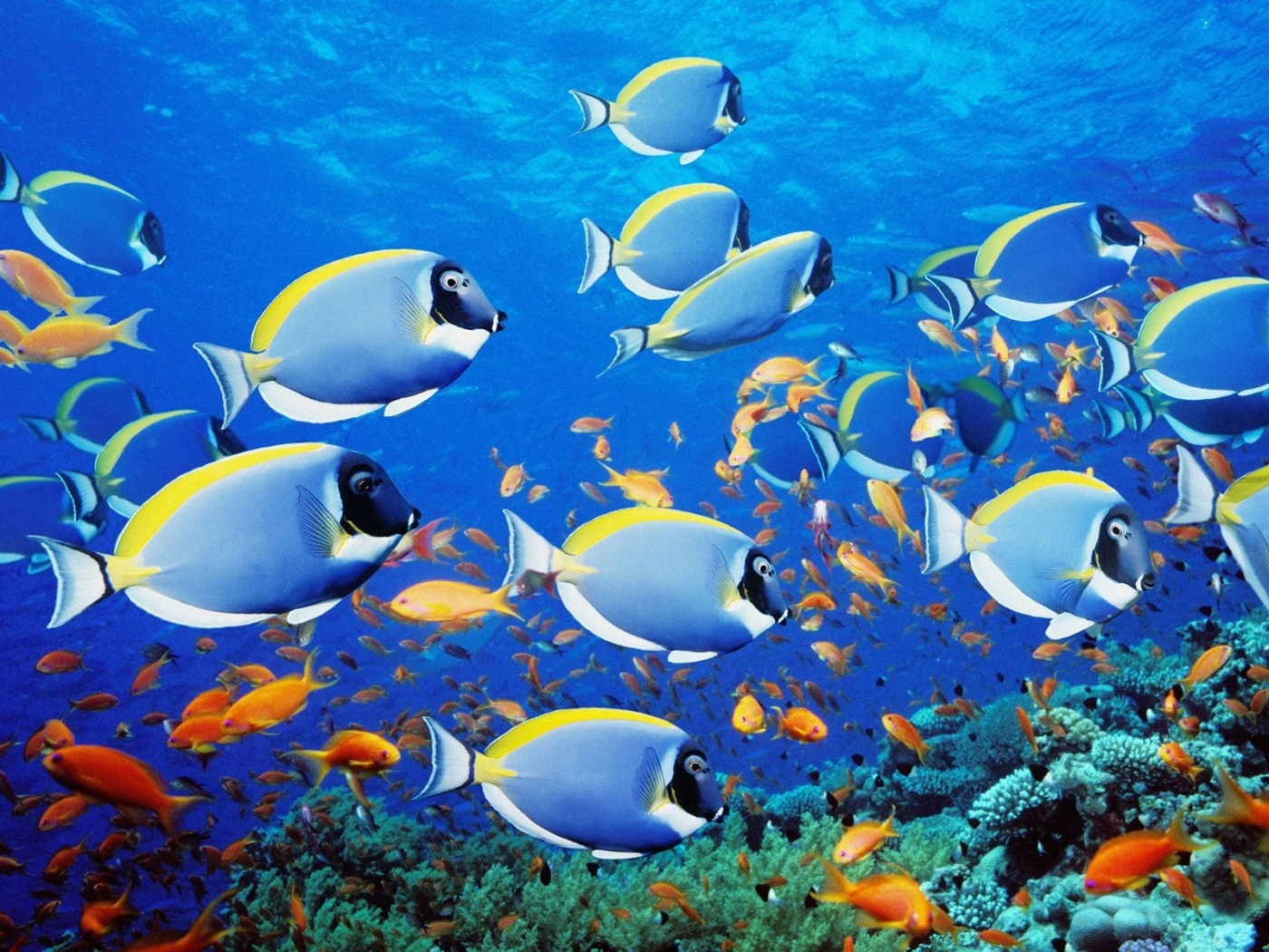 31710 download wallpaper Animals, Sea, Fishes screensavers and pictures for free