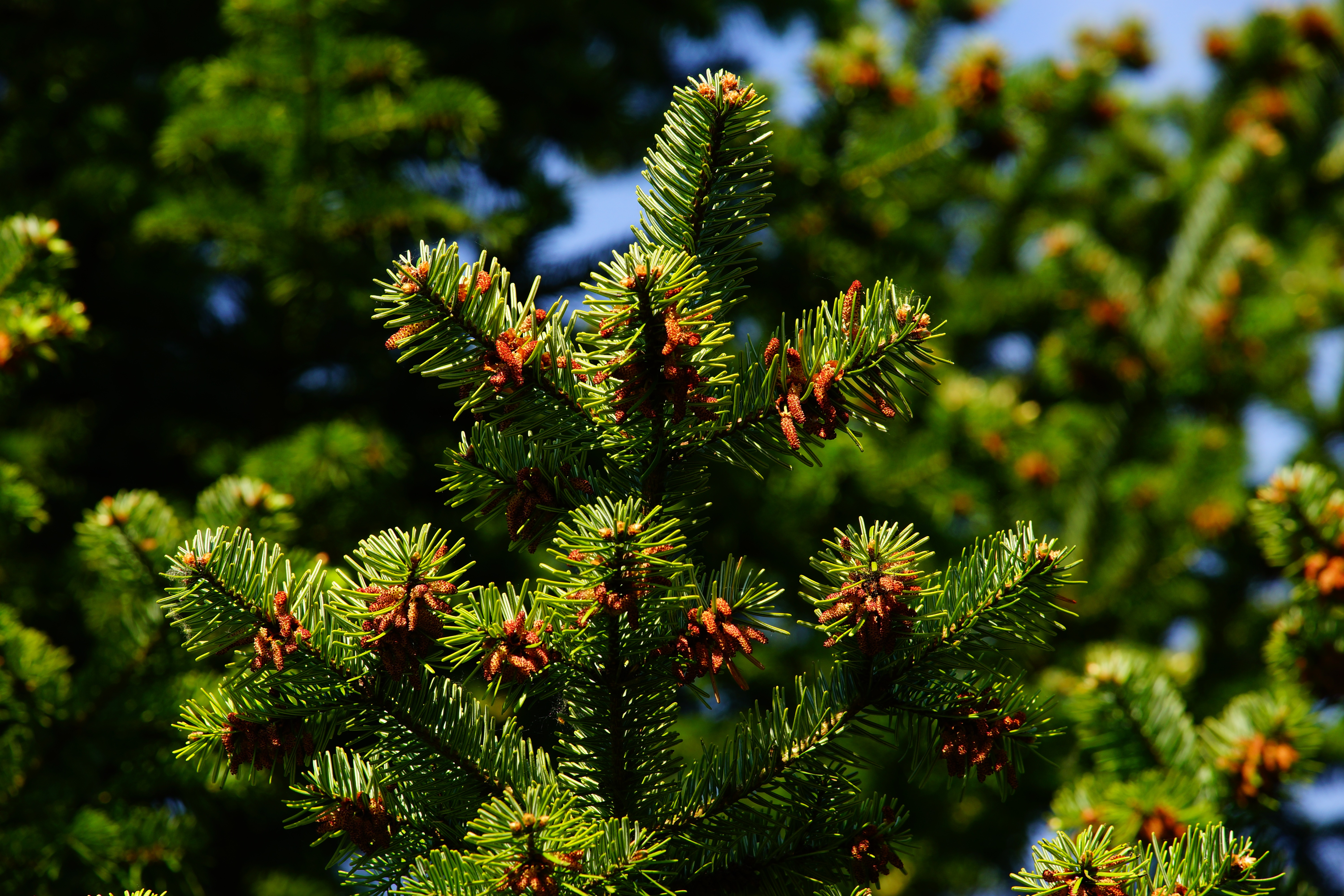 52672 Screensavers and Wallpapers Pine for phone. Download Nature, Pine, Branches, Needles, Thorns, Prickles pictures for free