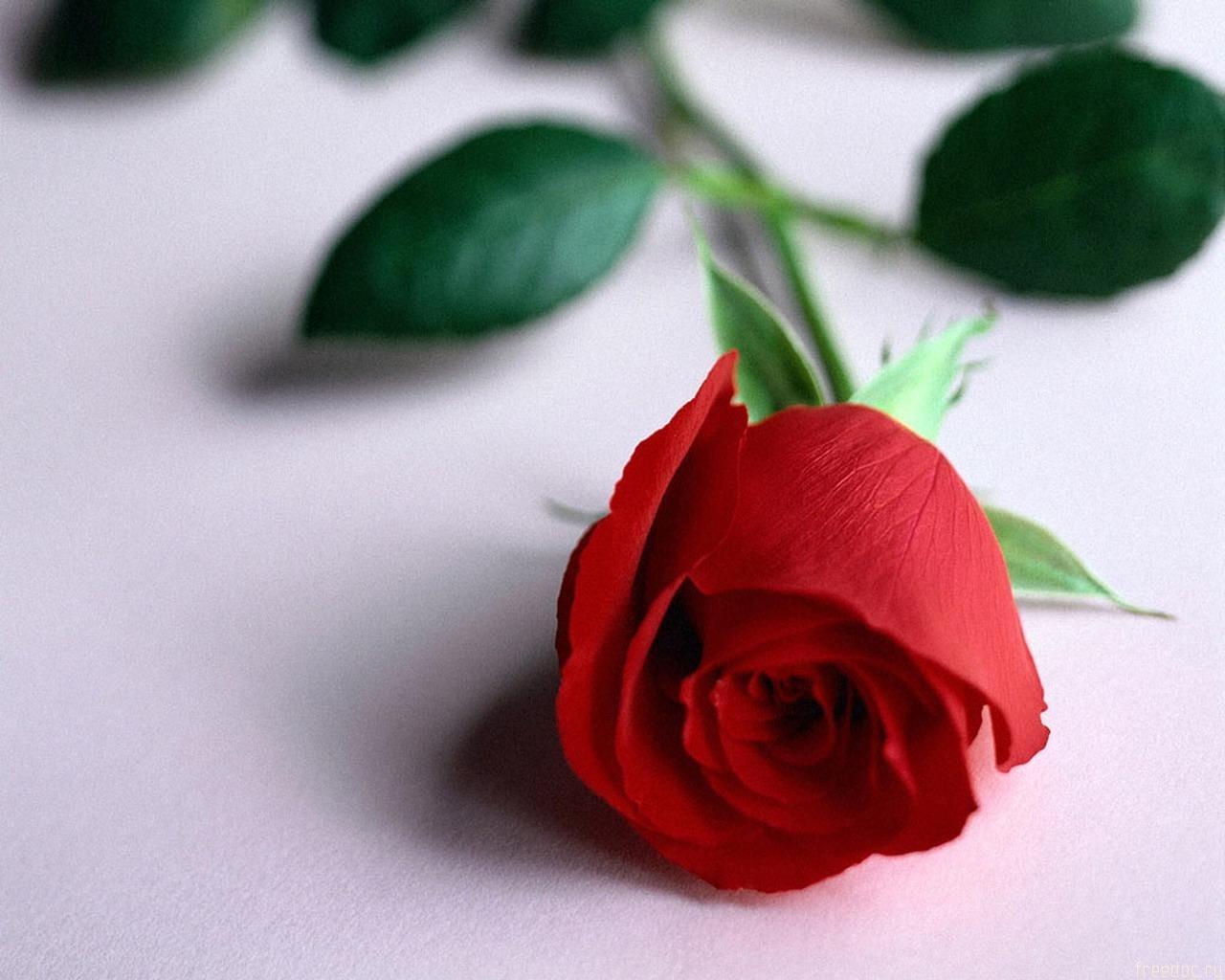 8903 скачать обои Растения, Цветы, Розы - заставки и картинки бесплатно