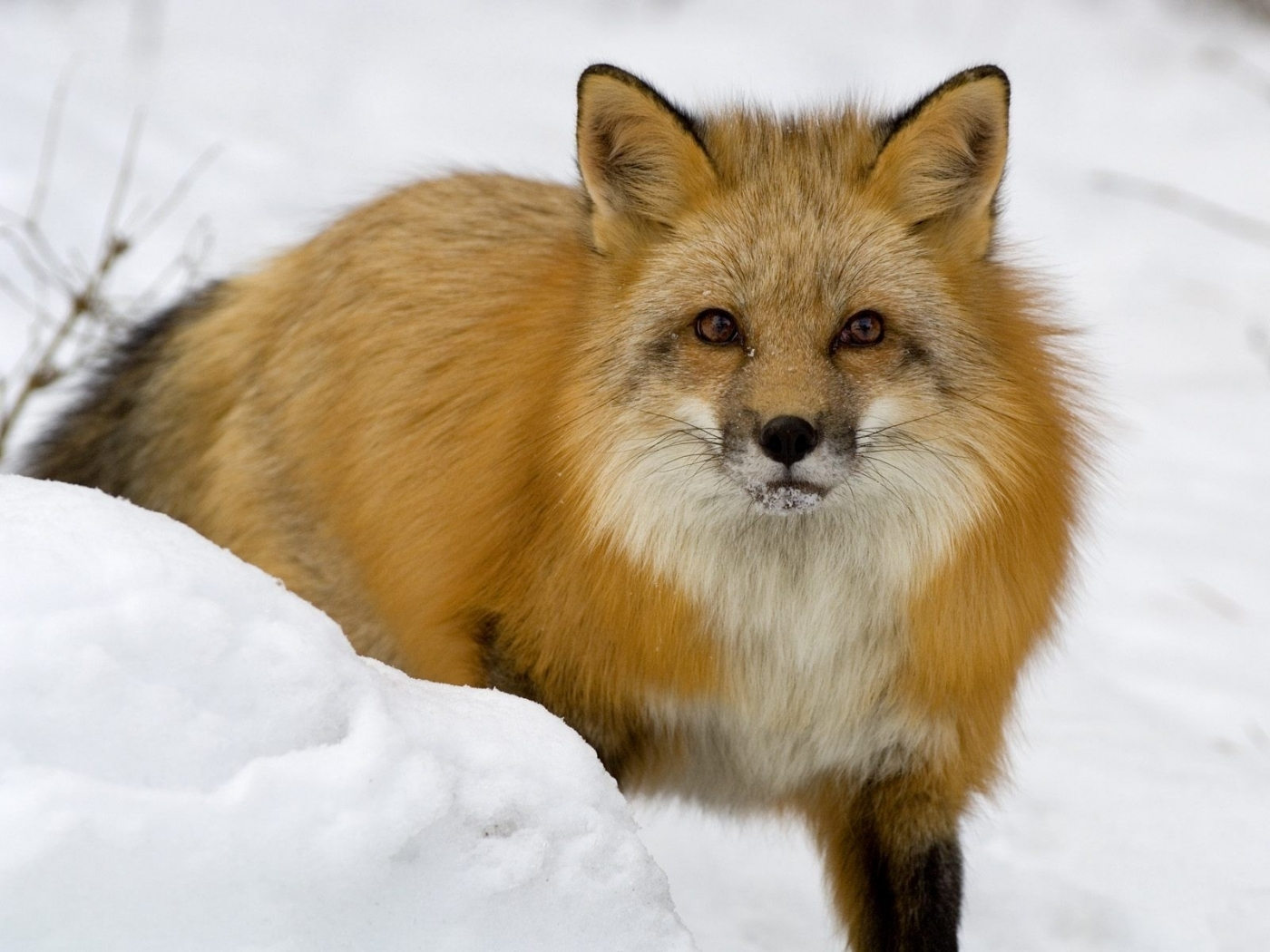 46717 download wallpaper Animals, Fox screensavers and pictures for free