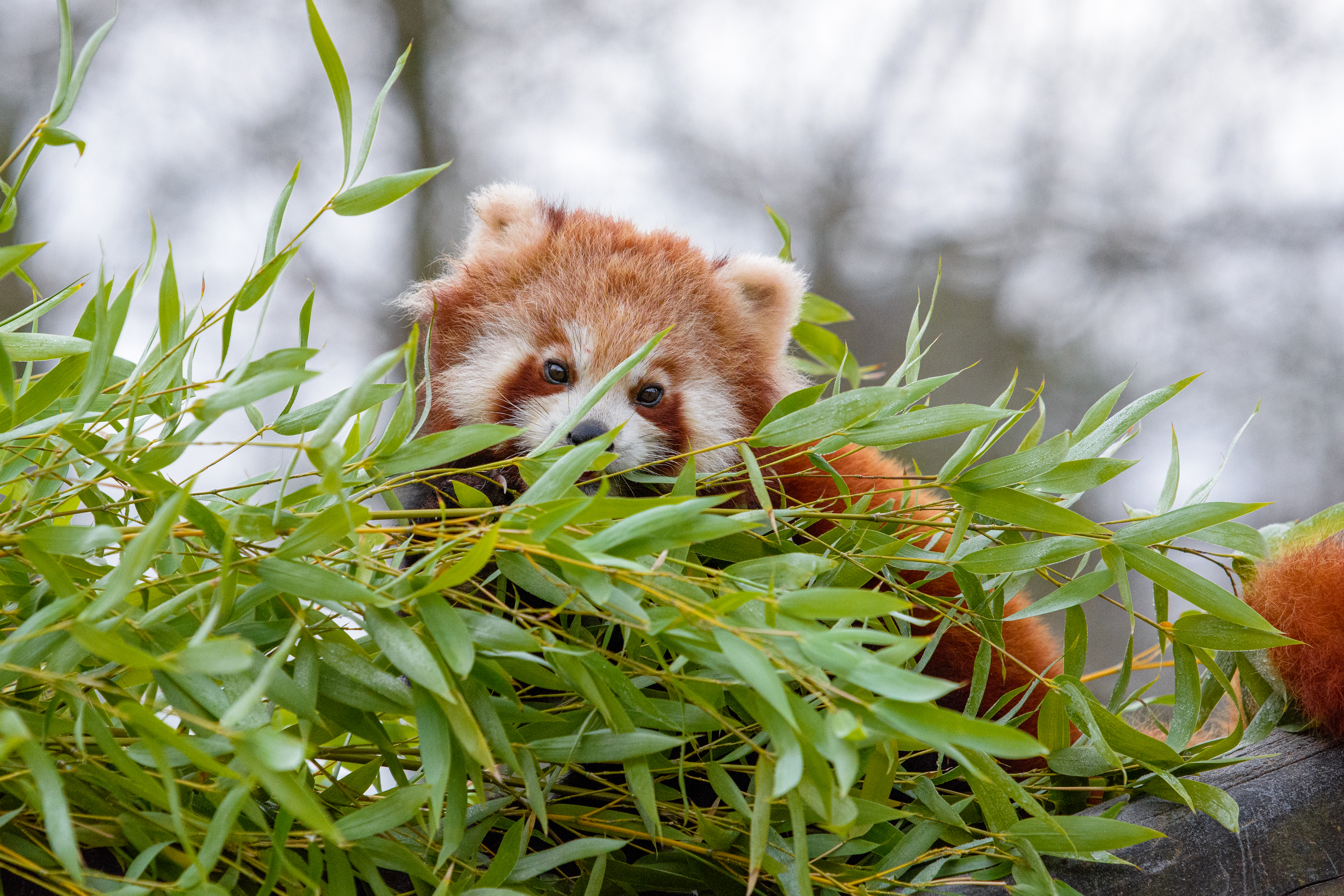 107482 download wallpaper Animals, Little Panda, Small Panda, Brown, Fluffy, Animal, Branches screensavers and pictures for free
