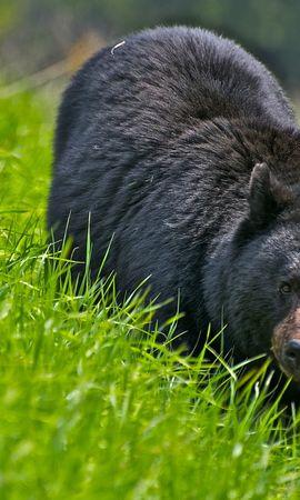 39906 baixar papel de parede Animais, Bears - protetores de tela e imagens gratuitamente
