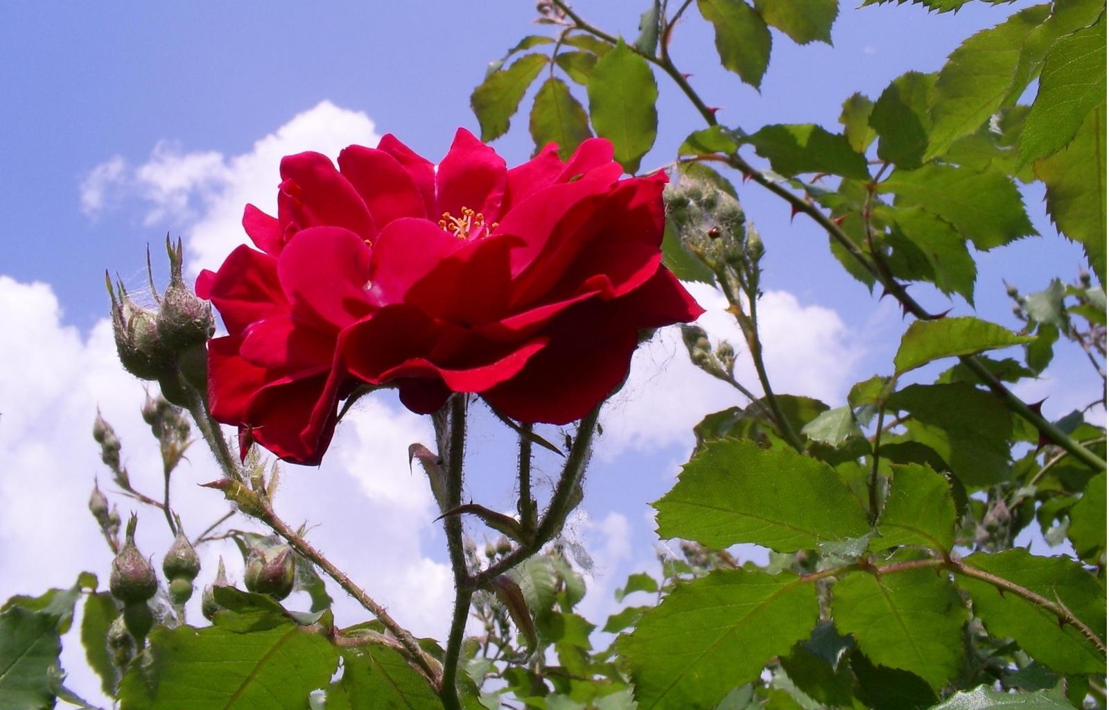 100 скачать обои Растения, Цветы, Розы - заставки и картинки бесплатно