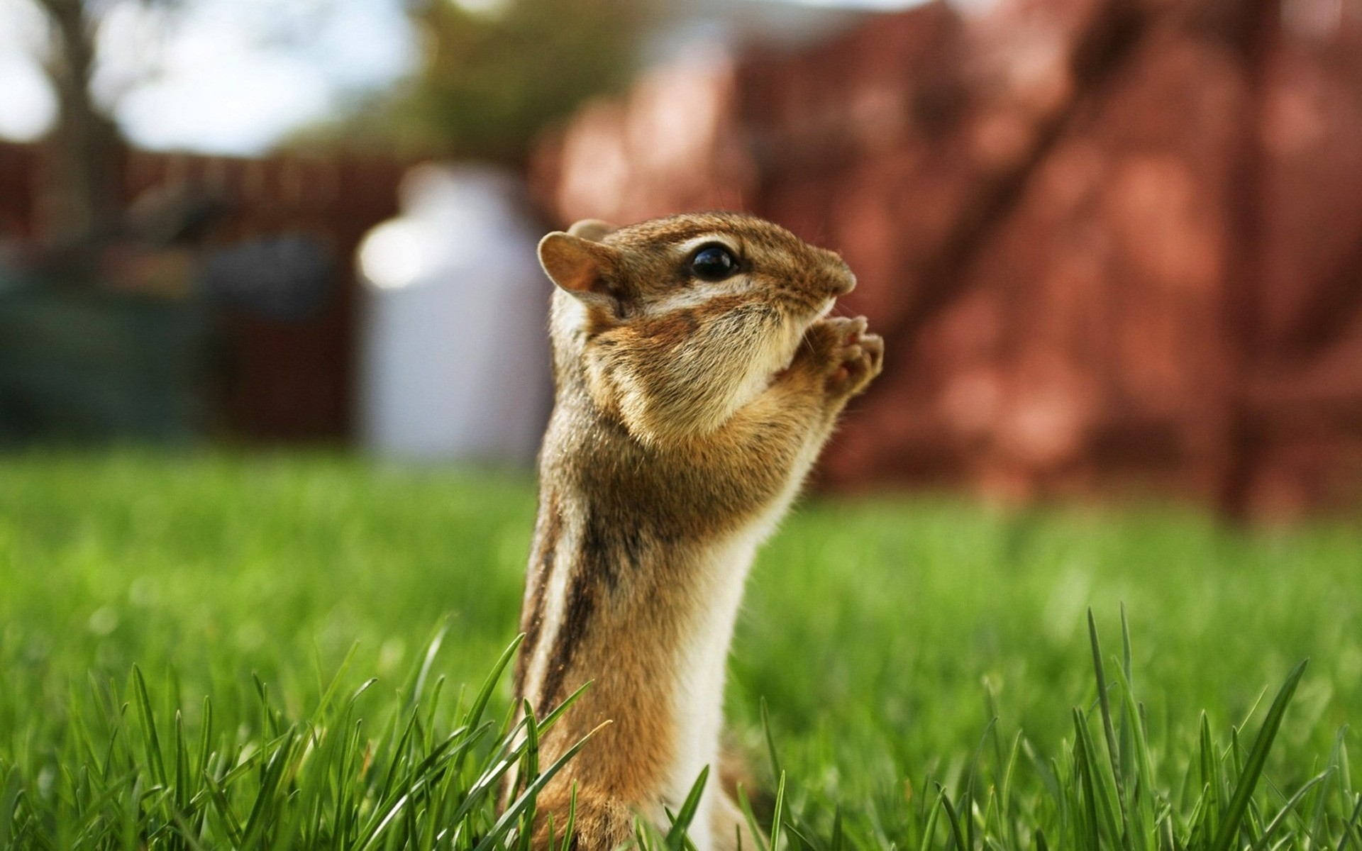 40924 Screensavers and Wallpapers Rodents for phone. Download Animals, Rodents, Chipmunks pictures for free
