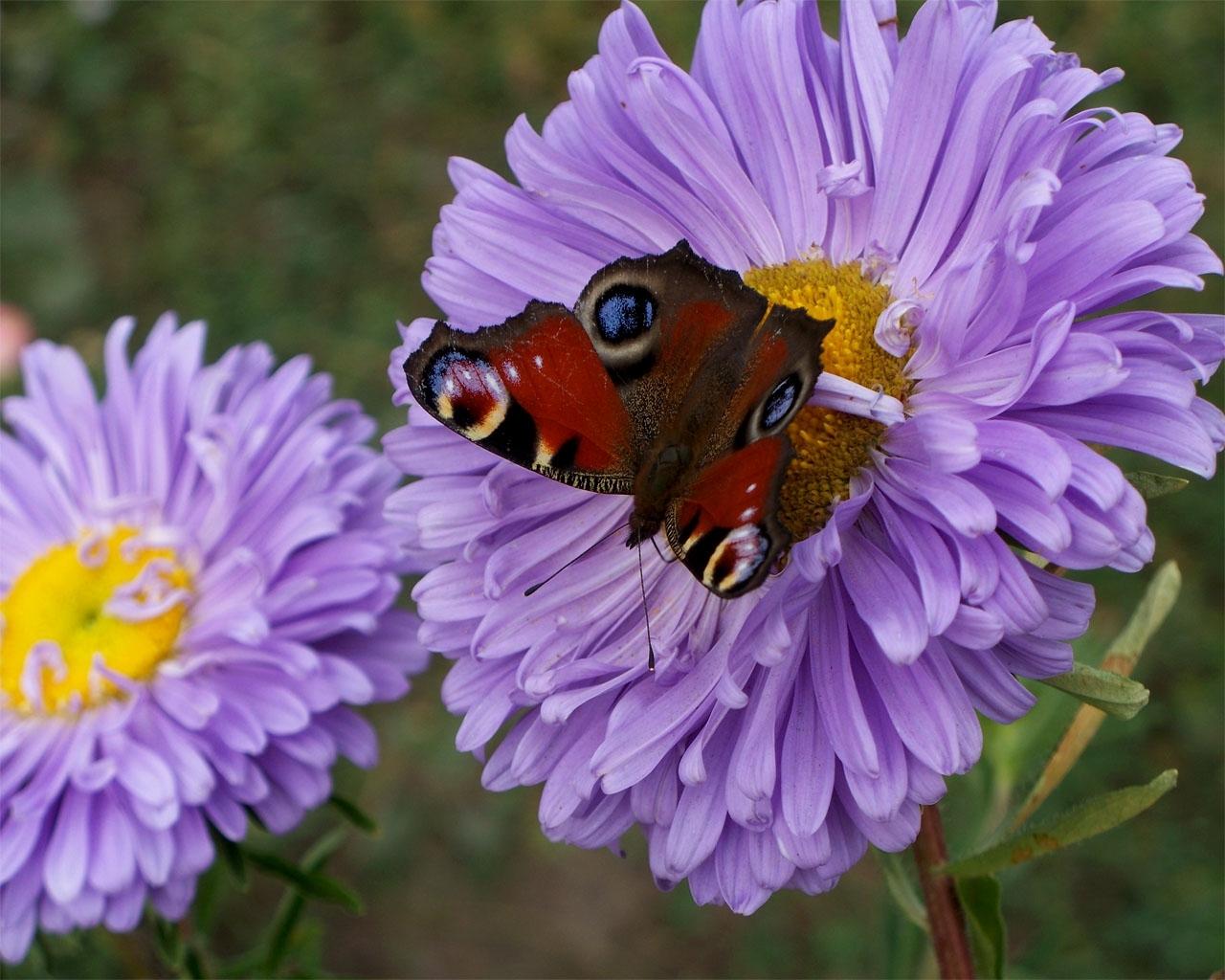 7028 descargar fondo de pantalla Plantas, Mariposas, Flores, Insectos: protectores de pantalla e imágenes gratis