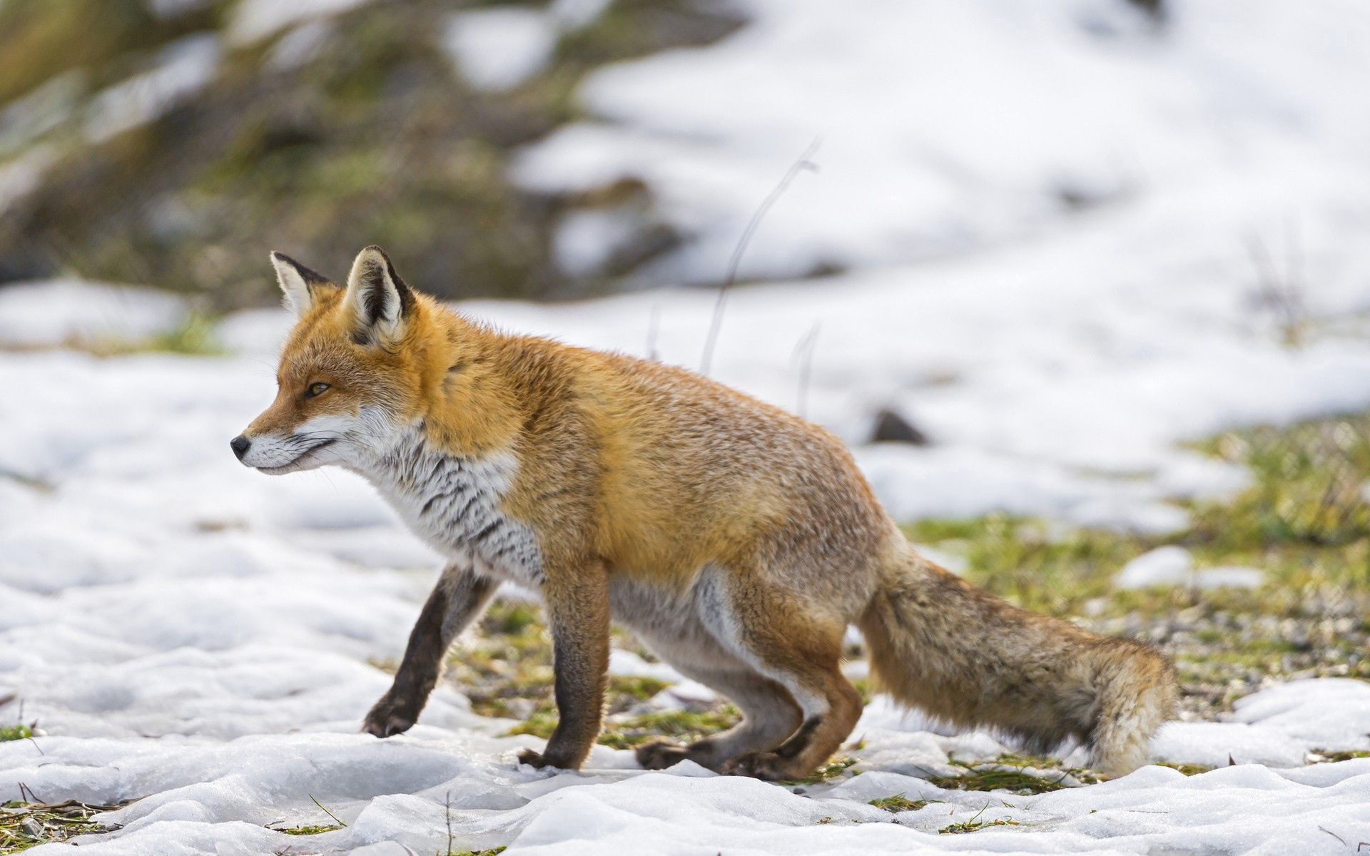 53357 download wallpaper Animals, Fox, Snow, Stroll, Hunting, Hunt screensavers and pictures for free