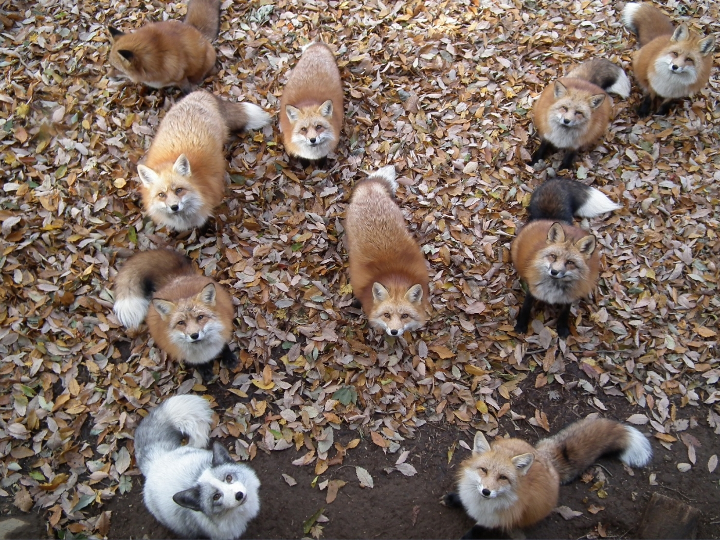 41001 download wallpaper Animals, Fox screensavers and pictures for free