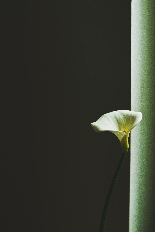 118524 免費下載壁紙 极简主义, 马蹄莲, 卡拉, 白晶, 花, 花卉 屏保和圖片