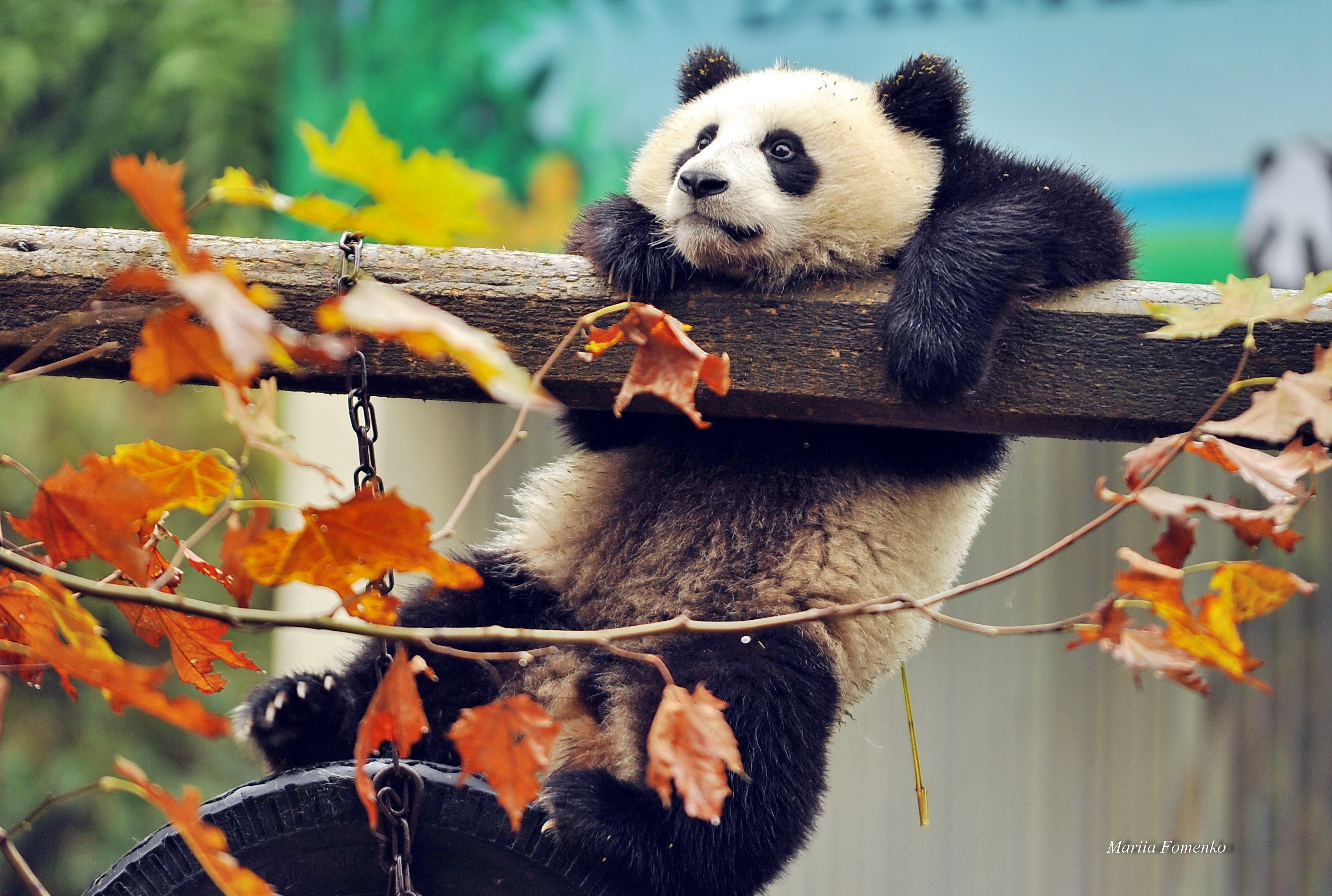 153007 download wallpaper Animals, Panda, Bear, Branch, Wood, Tree screensavers and pictures for free