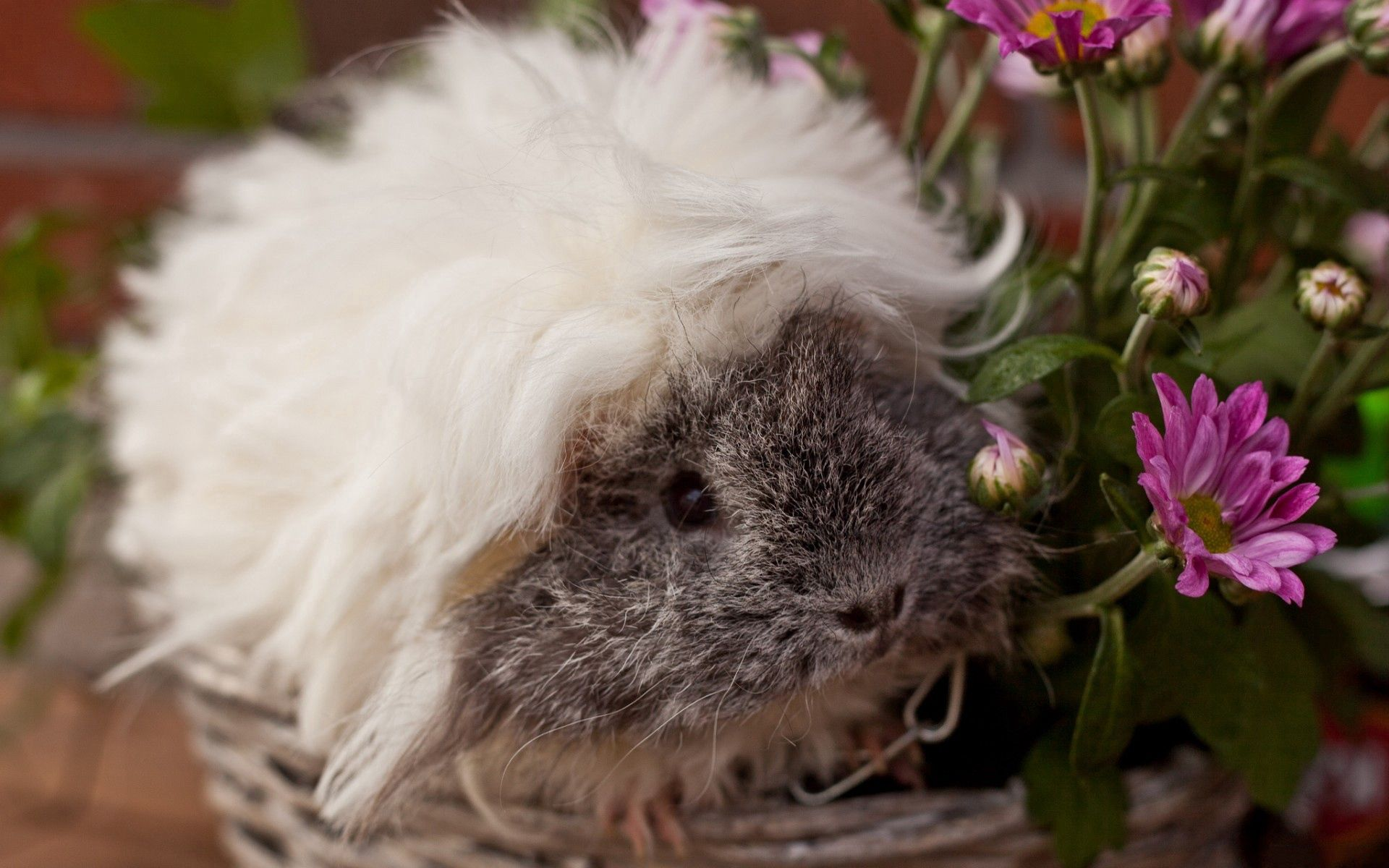 147071 download wallpaper Animals, Guinea Pig, Fluffy, Sight, Opinion, Beautiful, Rodent screensavers and pictures for free