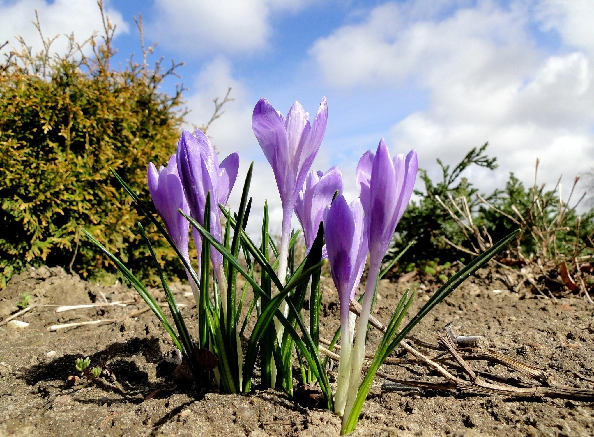 143217 download wallpaper Flowers, Crocuses, Spring, Priming, Ground, Sky, Clouds screensavers and pictures for free