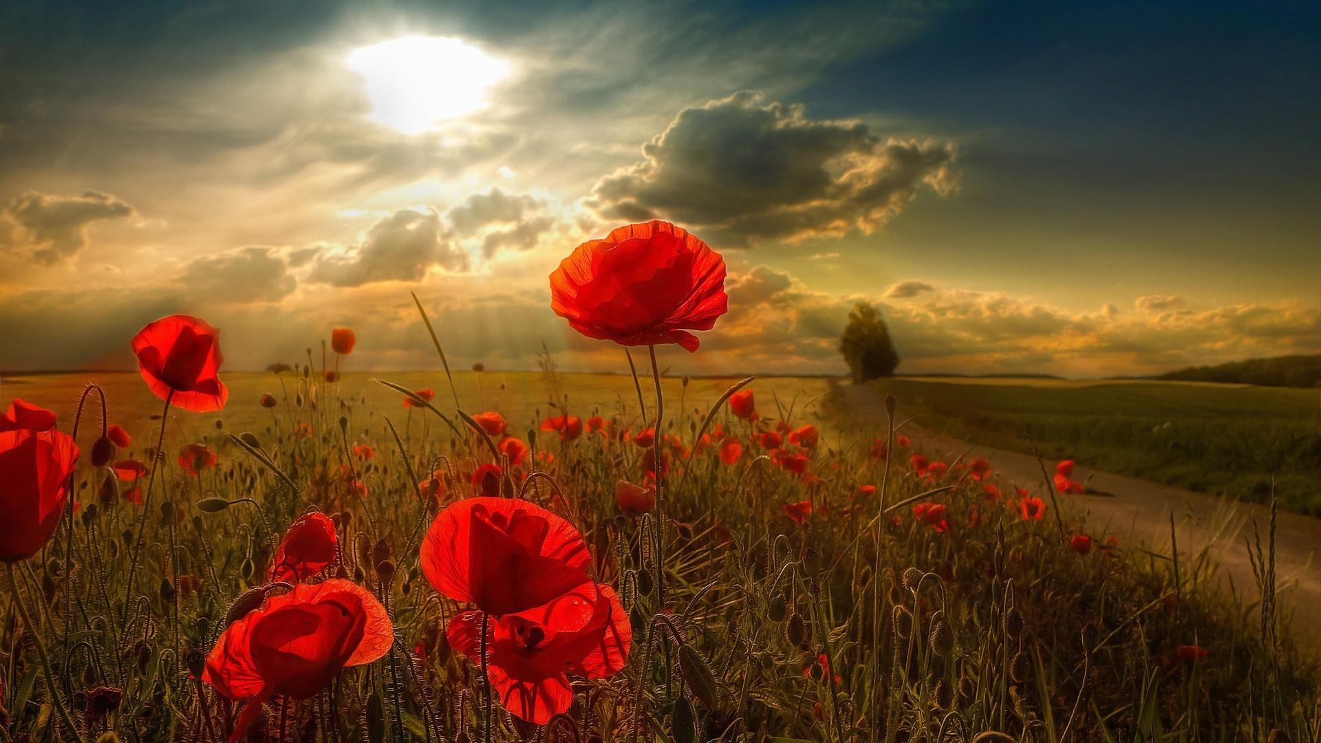 34844 скачать обои Пейзаж, Цветы, Поля, Маки - заставки и картинки бесплатно