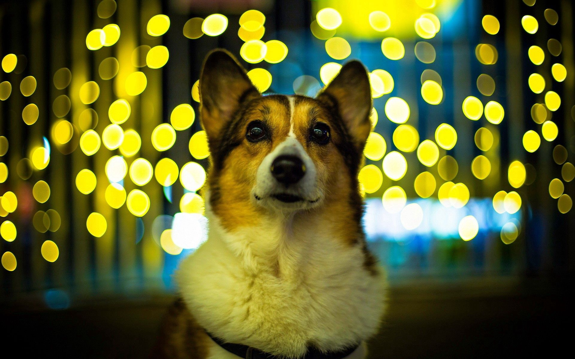 95662 Screensavers and Wallpapers Beautiful for phone. Download Animals, Glare, Dog, Muzzle, Beautiful, Welsh Corgi pictures for free