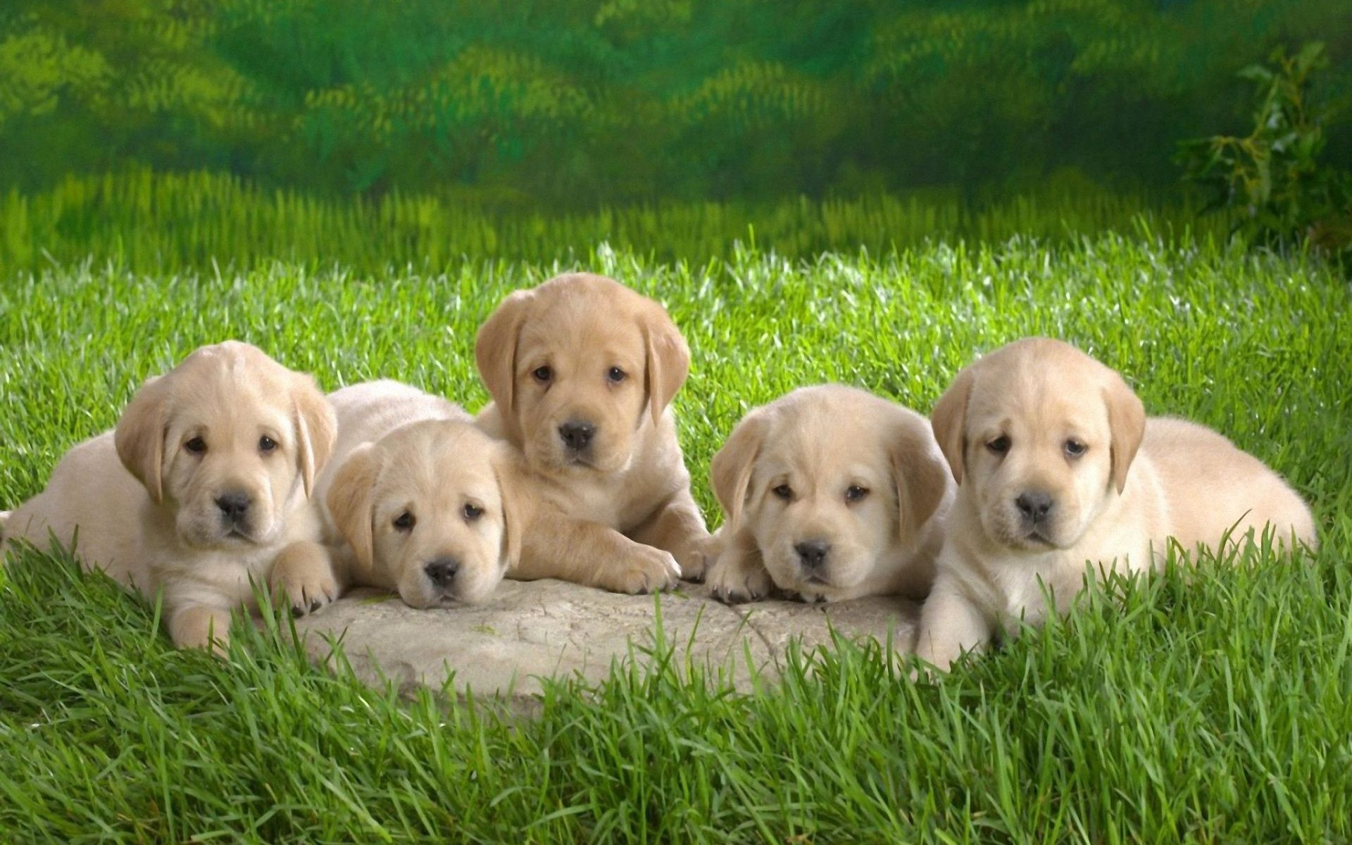 146958 download wallpaper Animals, Puppies, Labradors, Grass, To Lie Down, Lie, Lots Of, Multitude screensavers and pictures for free