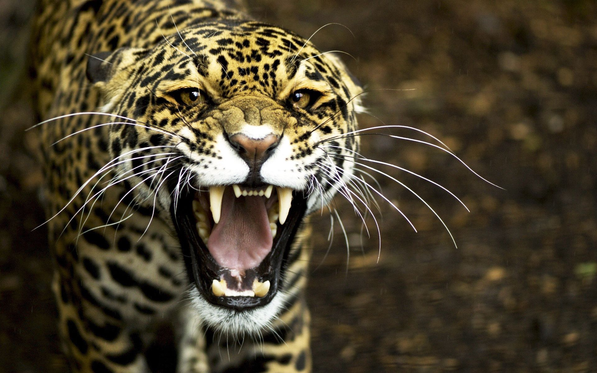 57625 download wallpaper Animals, Jaguar, Aggression, Grin, Muzzle screensavers and pictures for free
