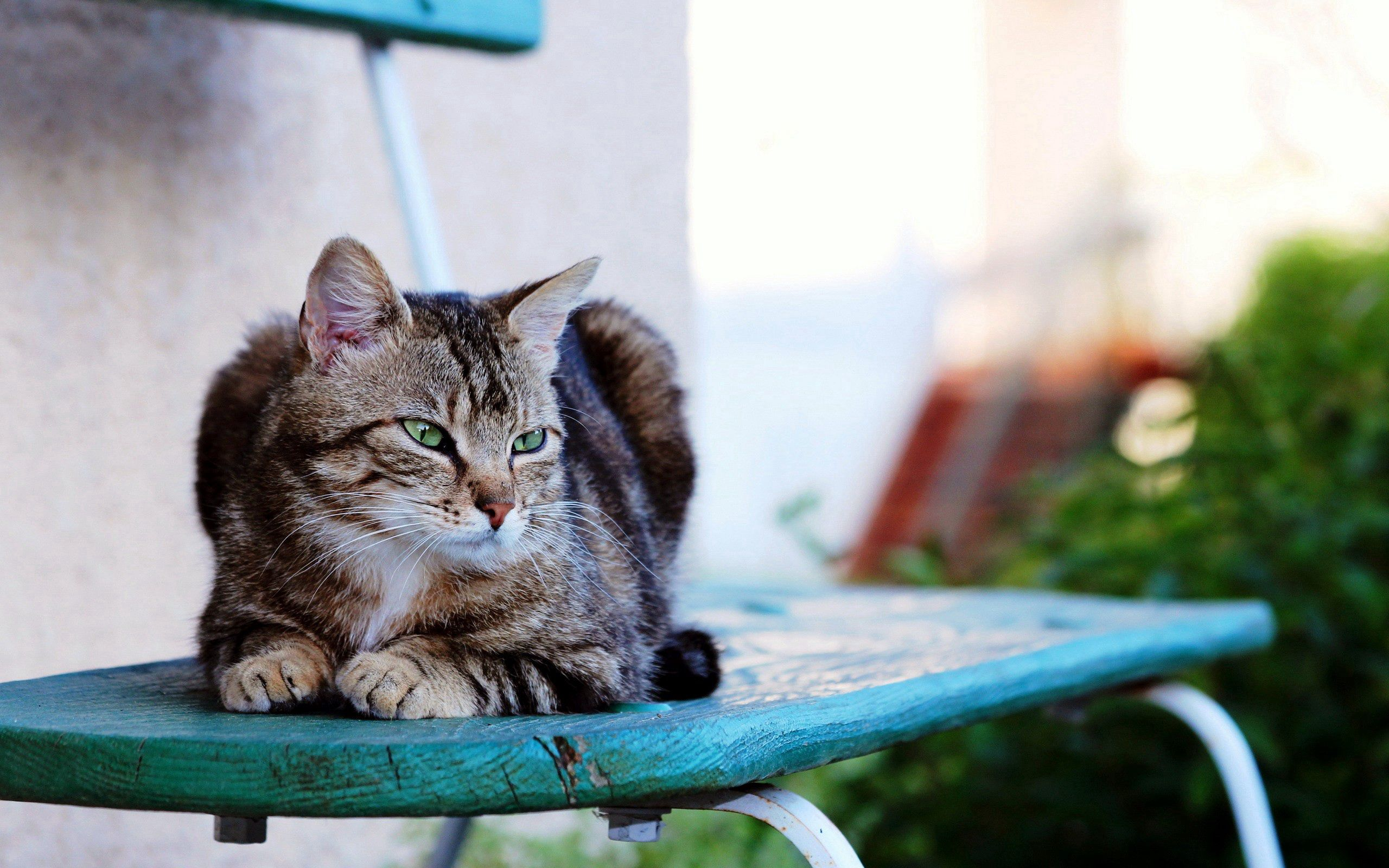 80146 Screensavers and Wallpapers Striped for phone. Download Animals, Cat, Striped, Is Sitting, Sits pictures for free