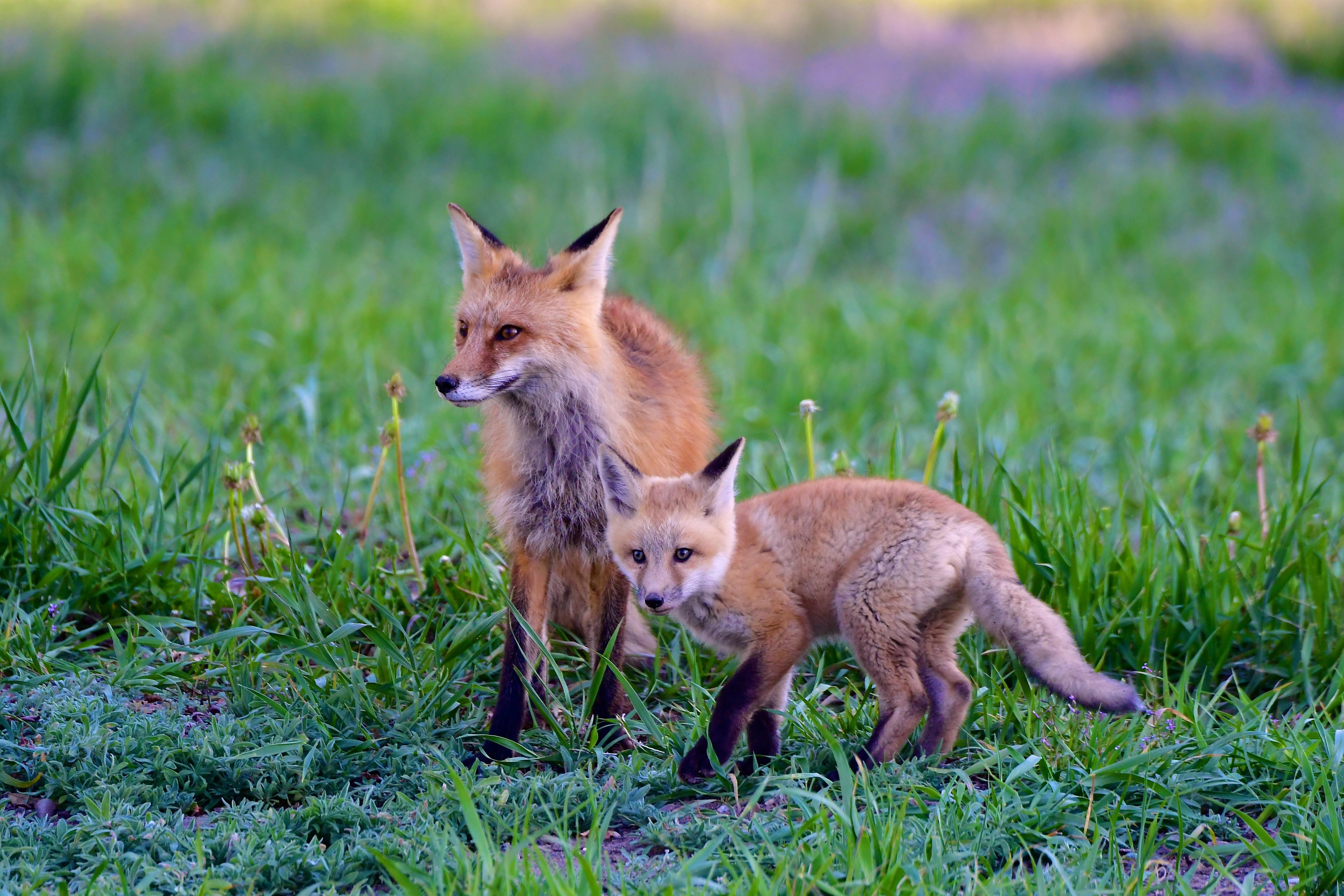112344 скачать обои Животные, Лиса, Детеныш, Хищник, Животное, Трава - заставки и картинки бесплатно