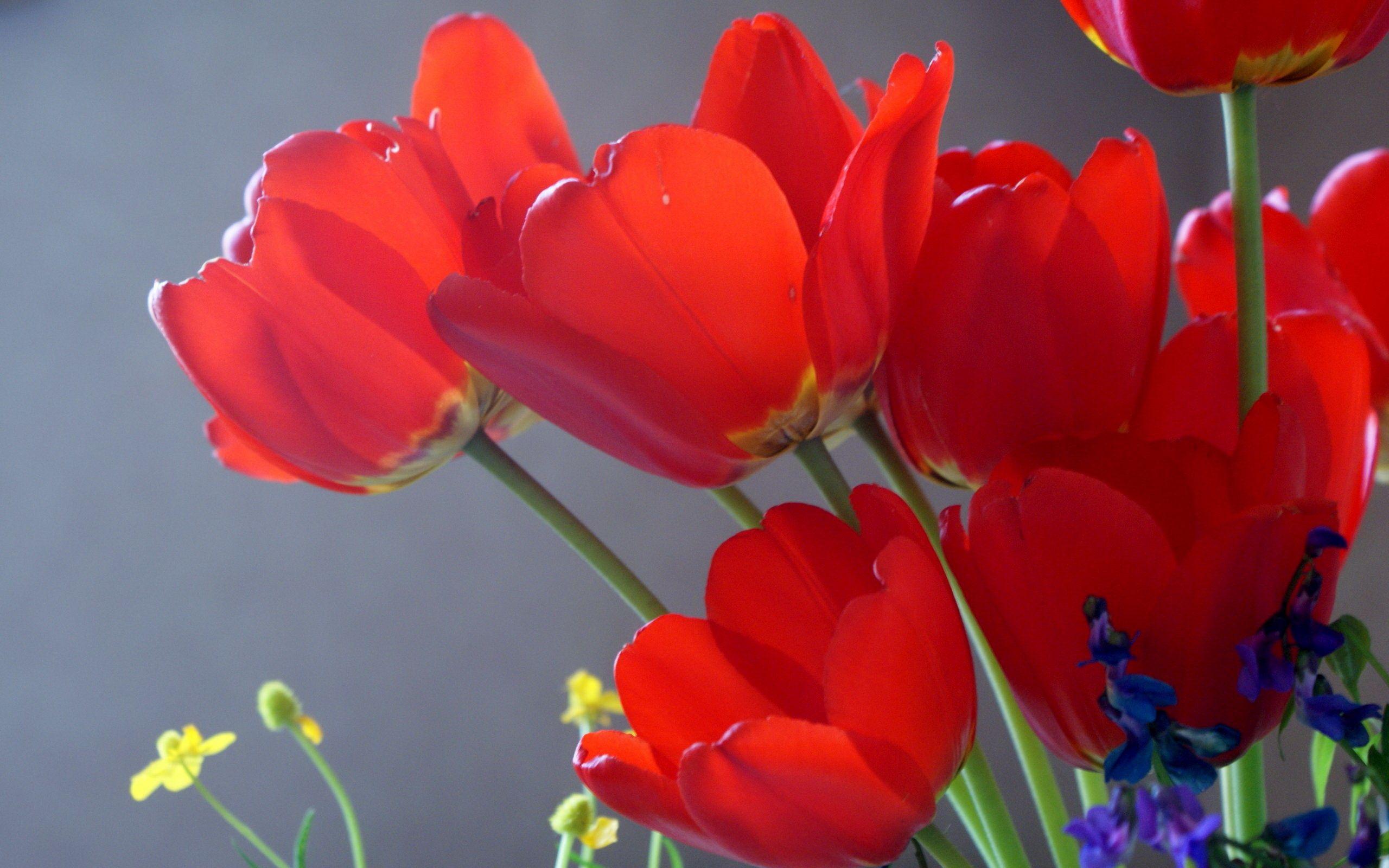 144897 скачать обои Цветы, Распущенные, Крупный План, Тюльпаны - заставки и картинки бесплатно