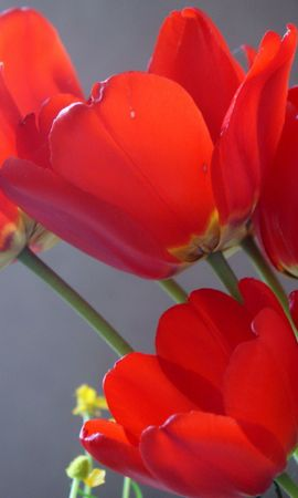 144897 télécharger le fond d'écran Fleurs, Démantelé, Lâche, Fermer, Gros Plan, Tulipes - économiseurs d'écran et images gratuitement