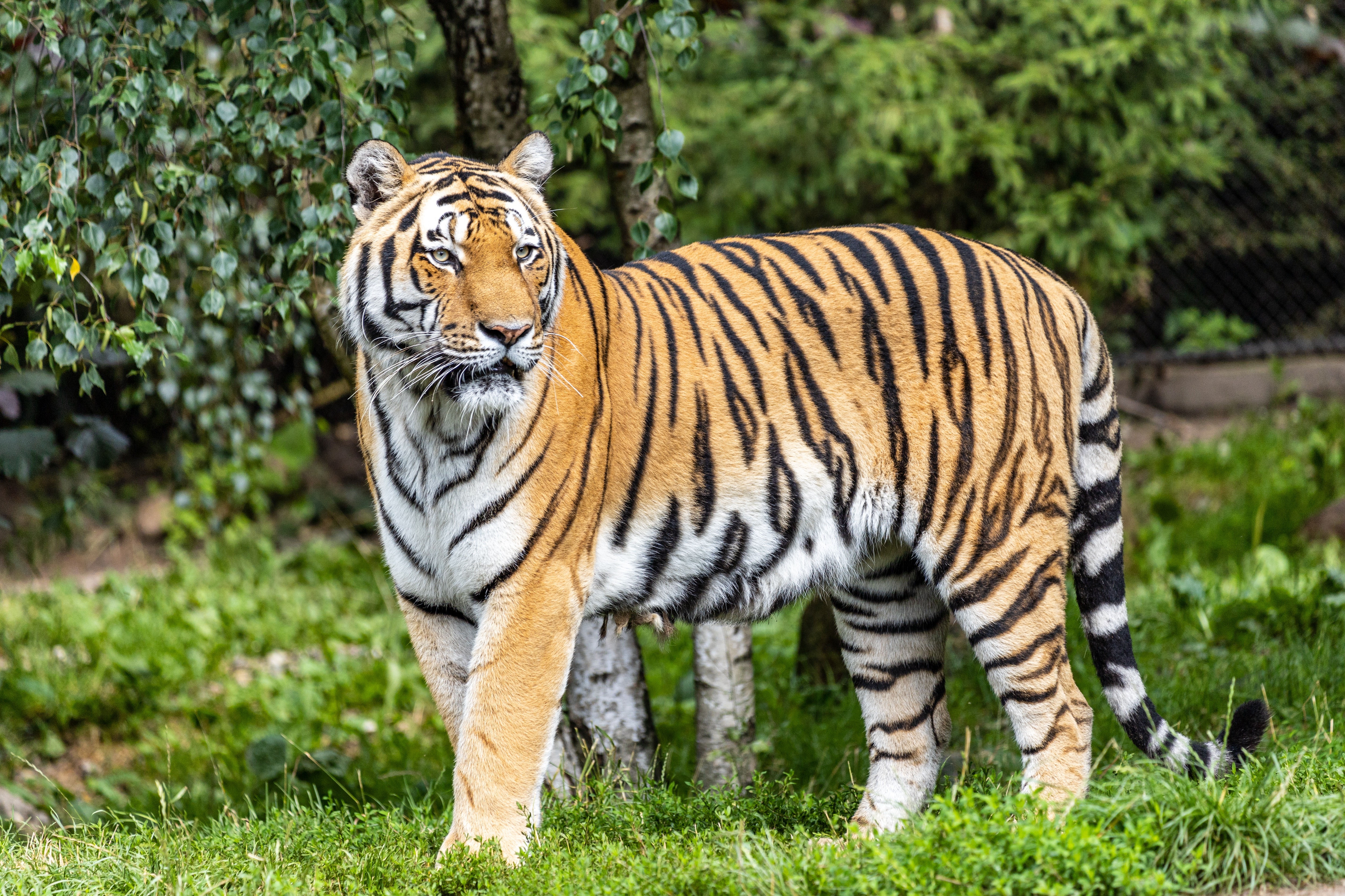 137054 download wallpaper Animals, Tiger, Predator, Big Cat, Stripes, Streaks, Sight, Opinion screensavers and pictures for free