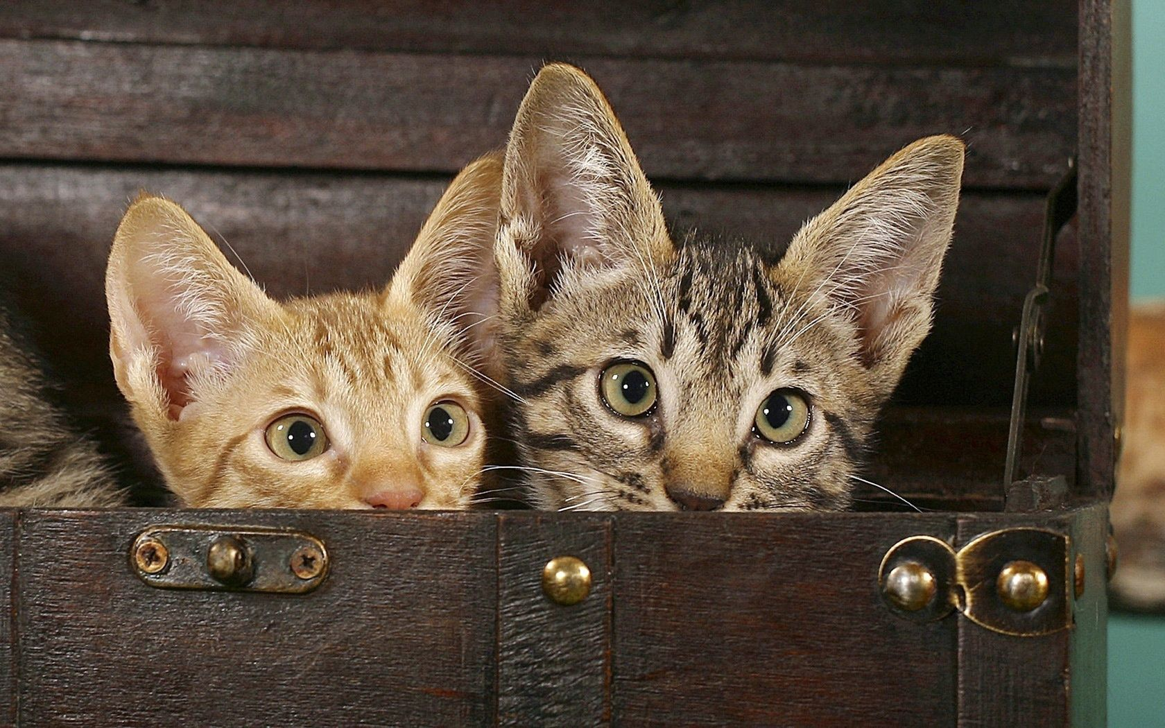 127841 download wallpaper Animals, Chest, Cats, Eared, Couple, Pair screensavers and pictures for free
