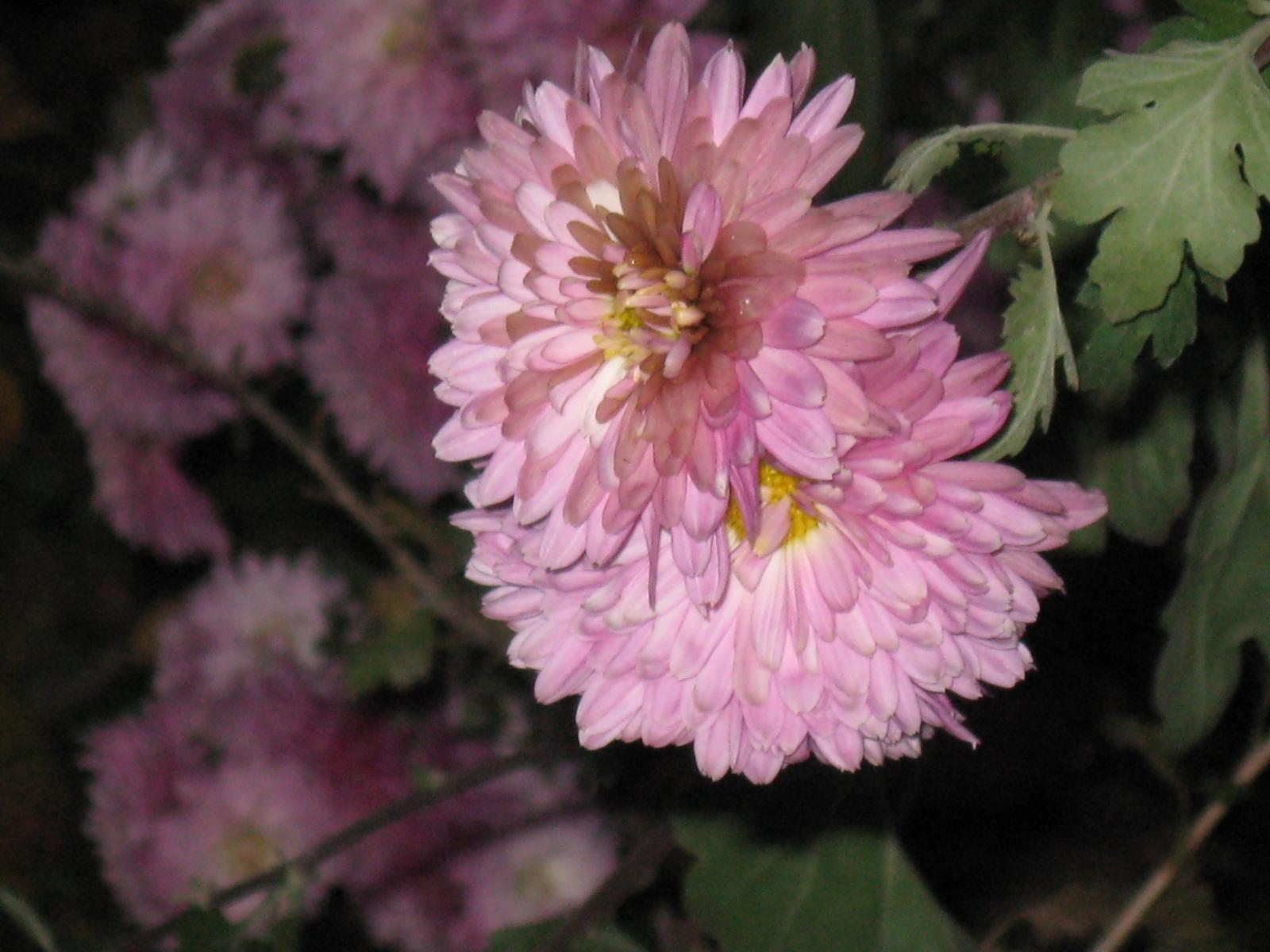 3803 скачать обои Растения, Цветы, Хризантемы - заставки и картинки бесплатно