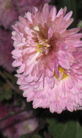 3803 descargar fondo de pantalla Plantas, Flores, Crisantemo: protectores de pantalla e imágenes gratis