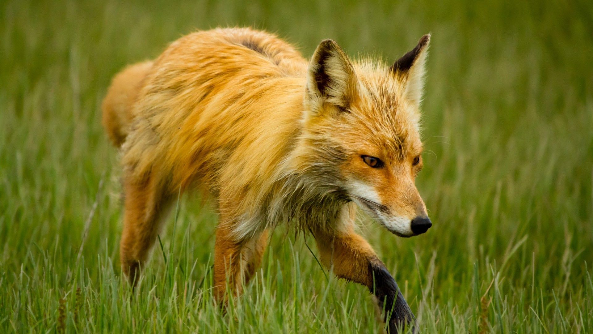 89560 download wallpaper Animals, Fox, Grass, Stroll screensavers and pictures for free
