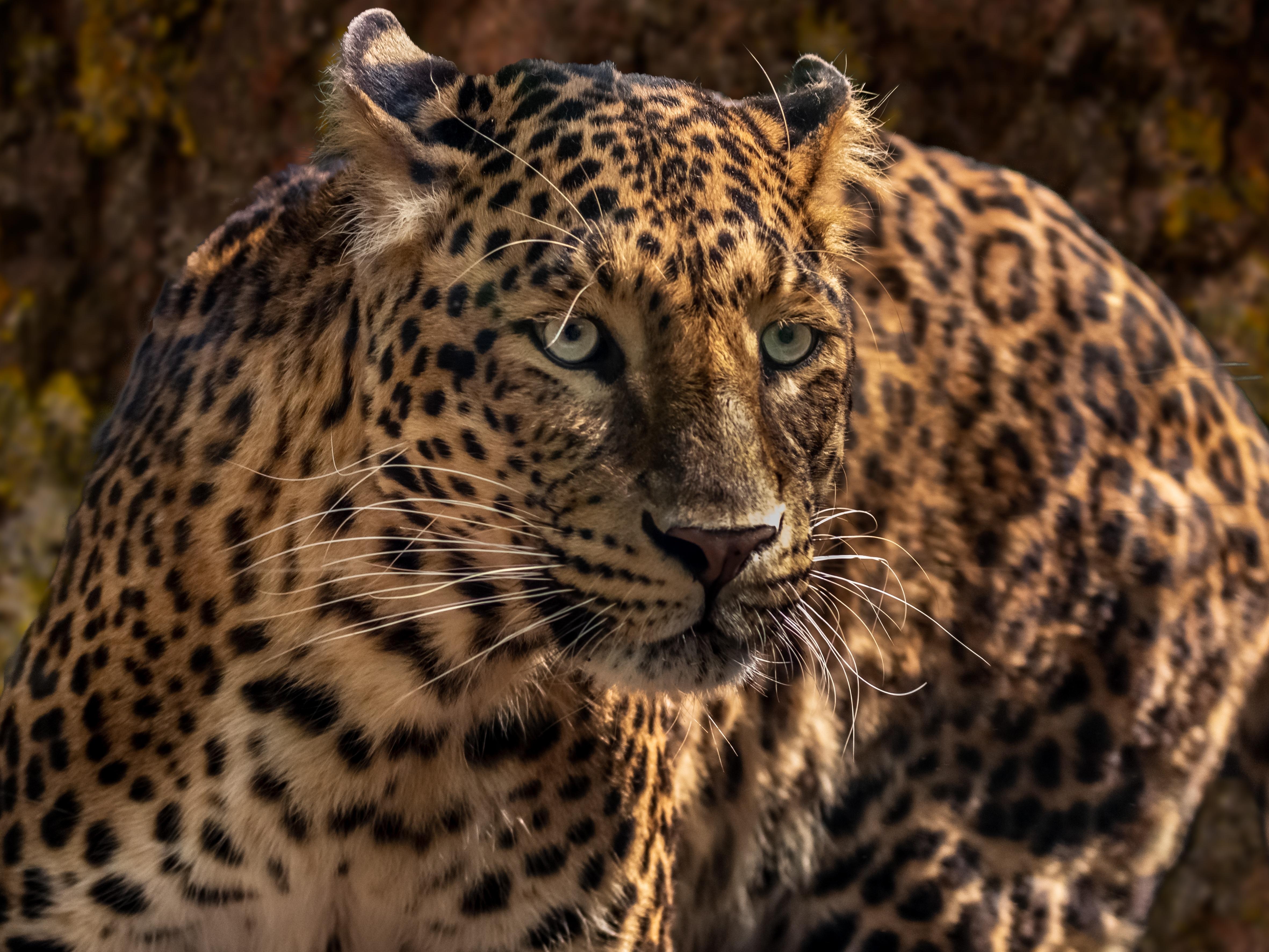 141369 скачать обои Крупный План, Хищник, Животные, Морда, Большая Кошка, Ягуар, Дикий - заставки и картинки бесплатно