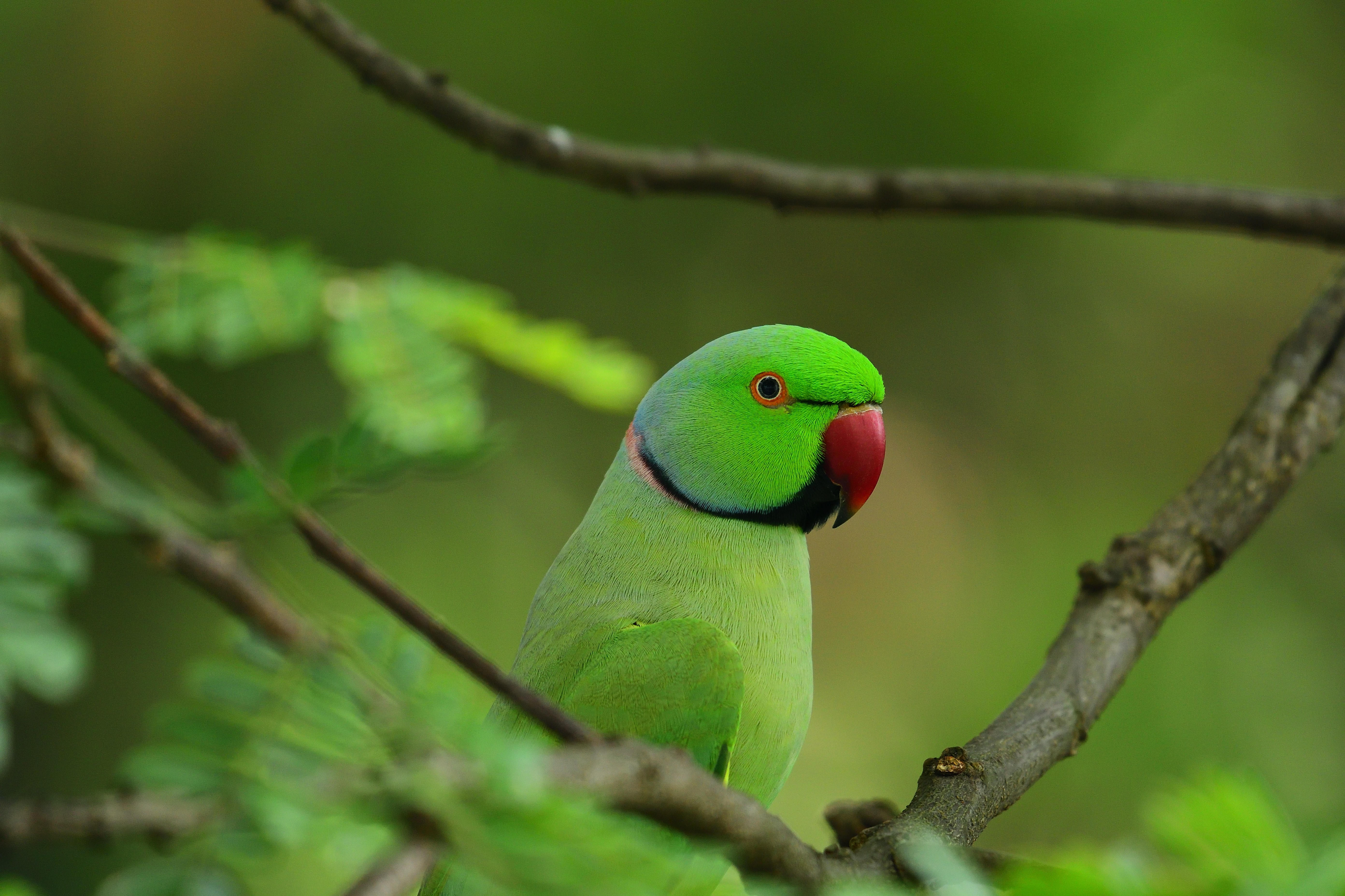 53143 Screensavers and Wallpapers Parrots for phone. Download Parrots, Animals, Leaves, Bird, Wood, Tree, Branches pictures for free