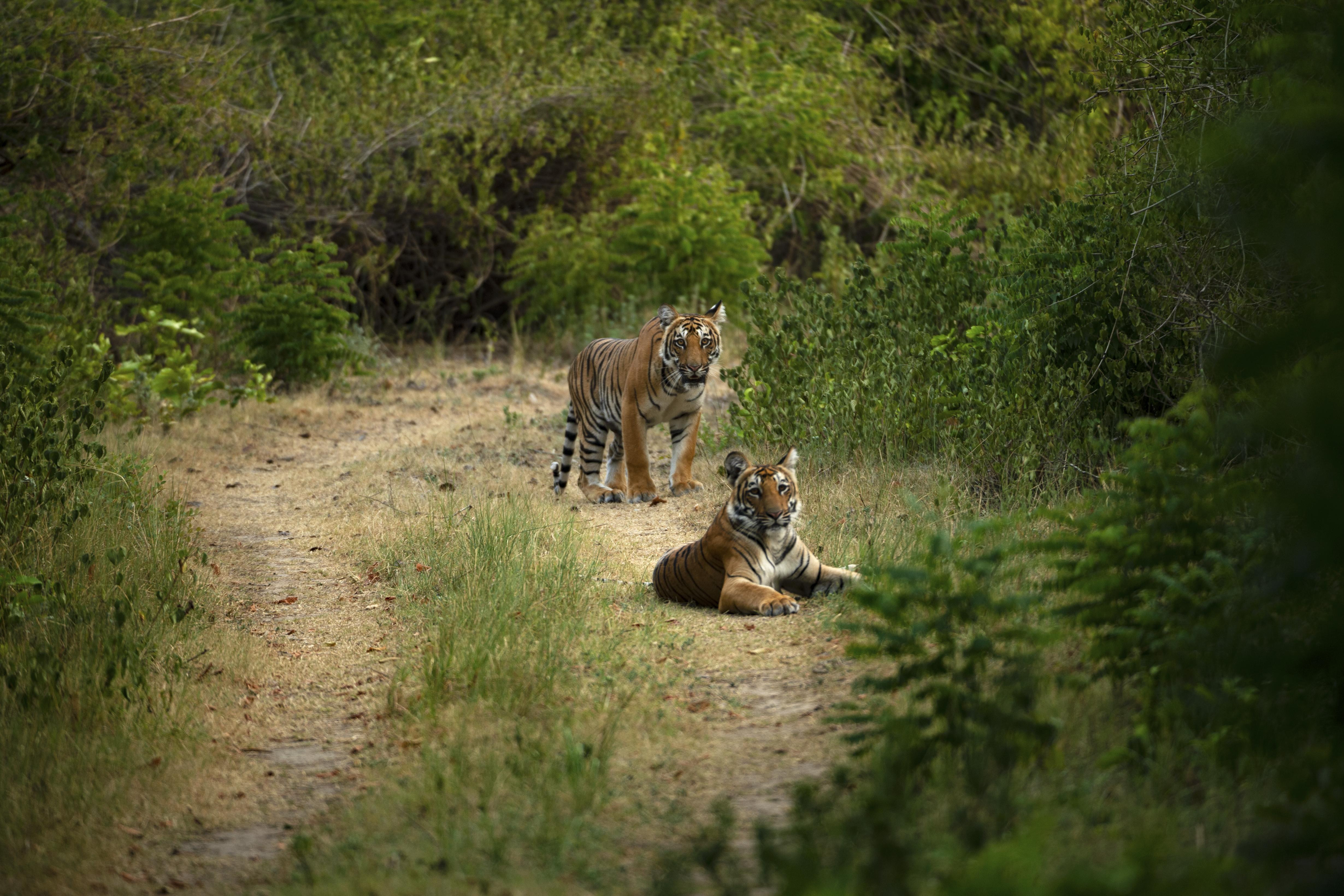70588壁紙のダウンロード動物, 虎, プレデター, 捕食者, 大きな猫, ビッグキャット, 阪神タイガース-スクリーンセーバーと写真を無料で