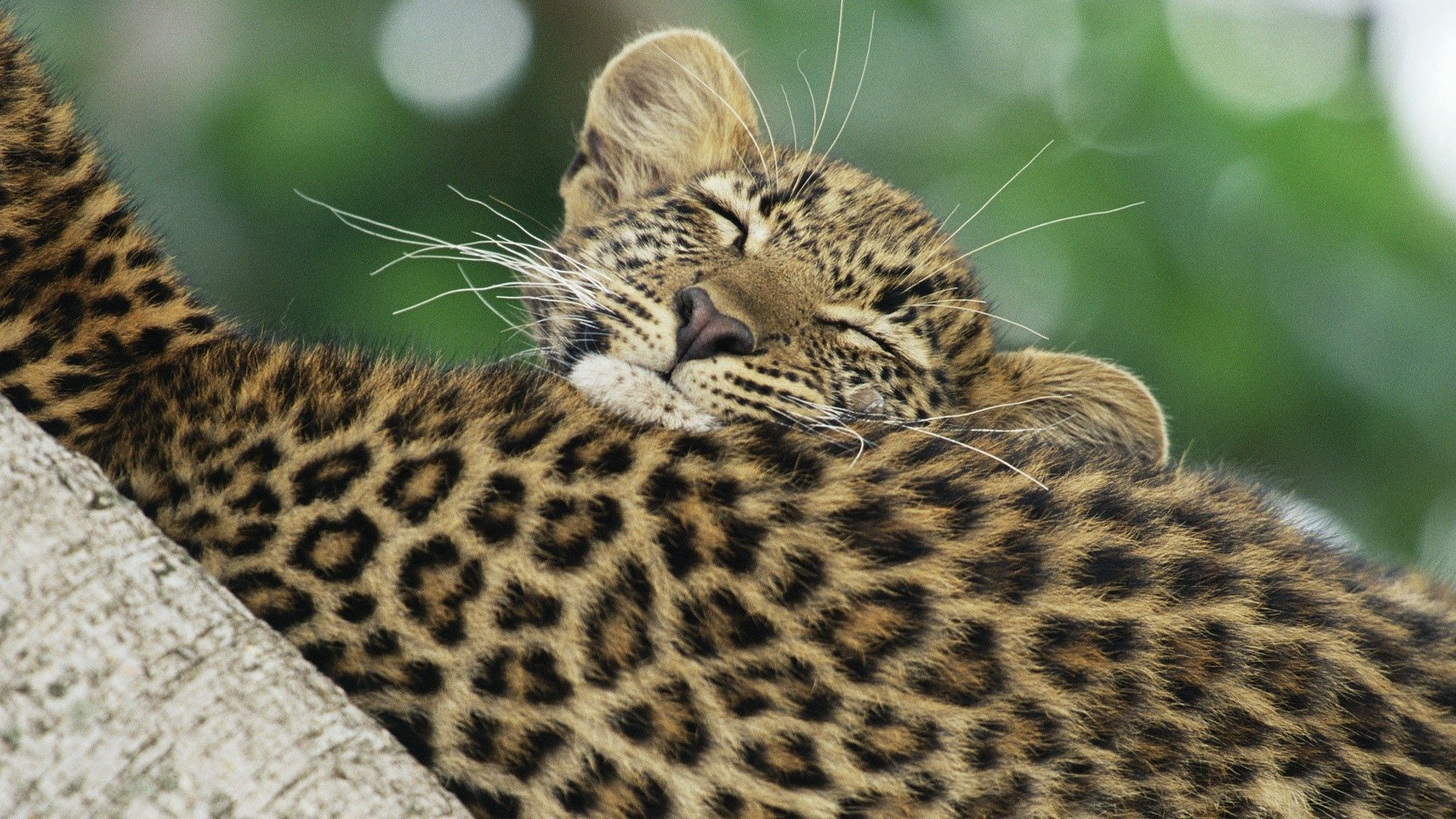 122994 download wallpaper Animals, Leopard, Color, Young, Joey, Care screensavers and pictures for free