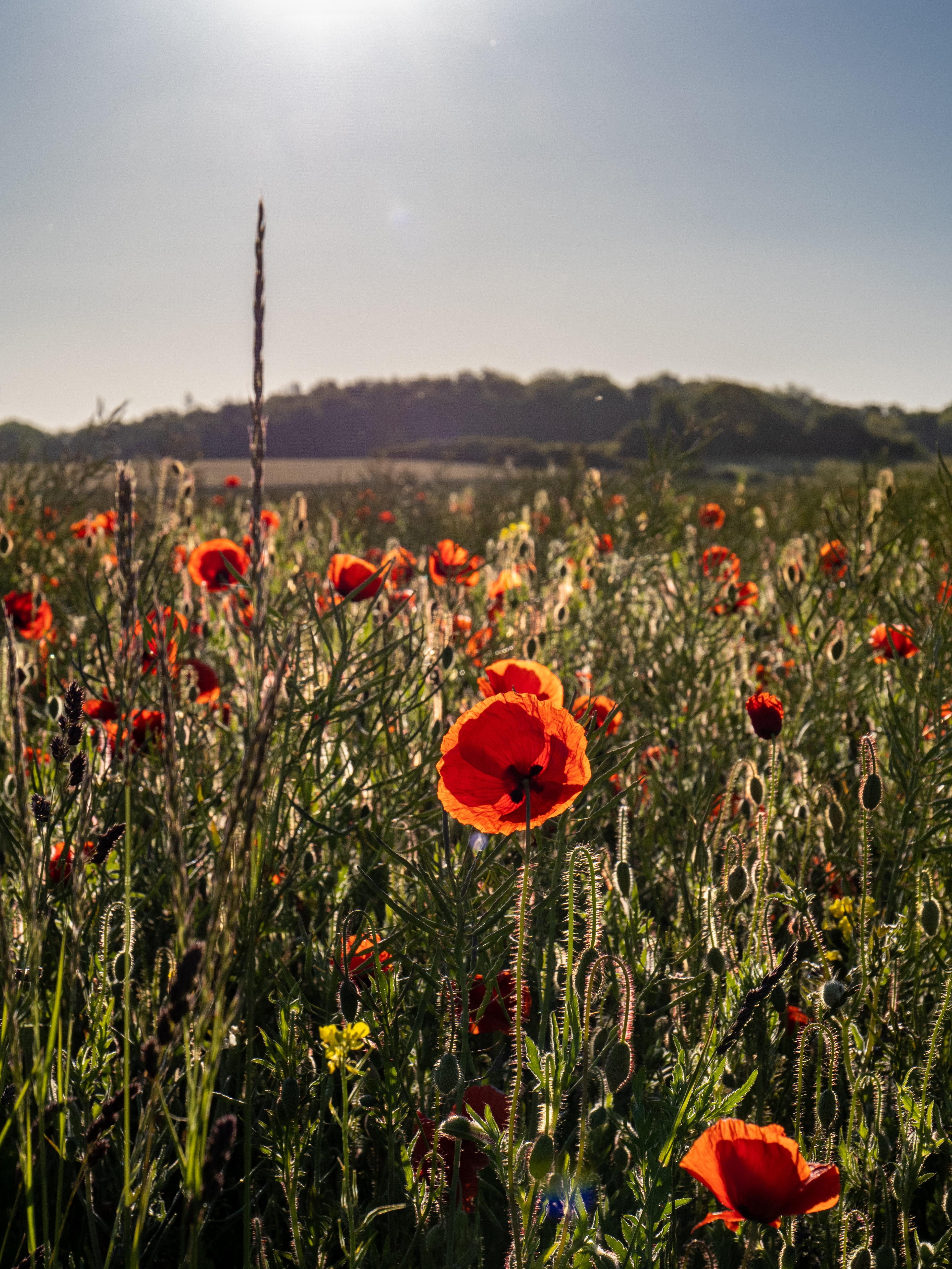 119987 скачать обои Цветы, Маки, Полевые Цветы, Трава, Небо - заставки и картинки бесплатно