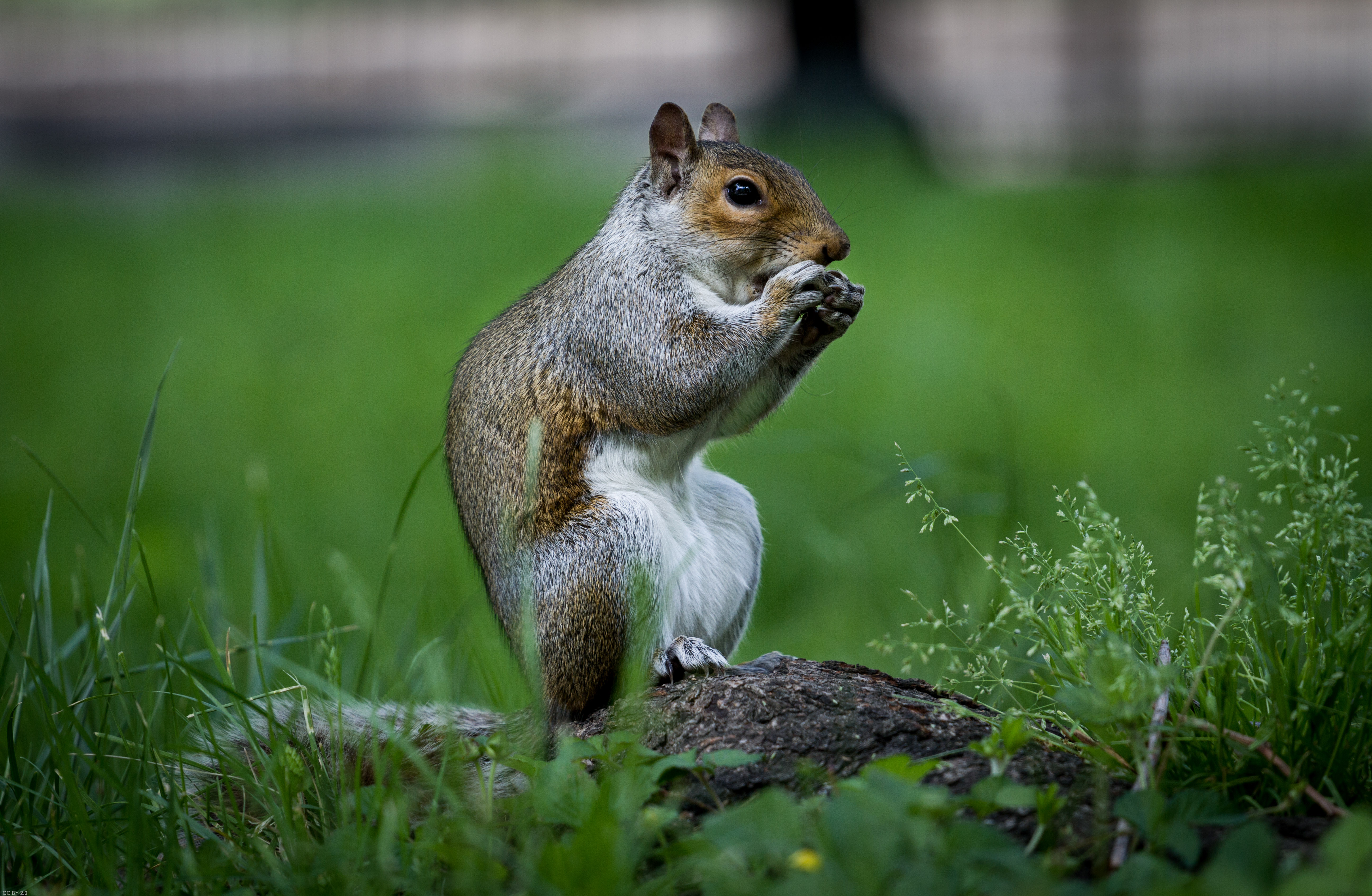 105150 download wallpaper Animals, Rodent, Squirrel, Beast, Nice, Sweetheart, Grass screensavers and pictures for free
