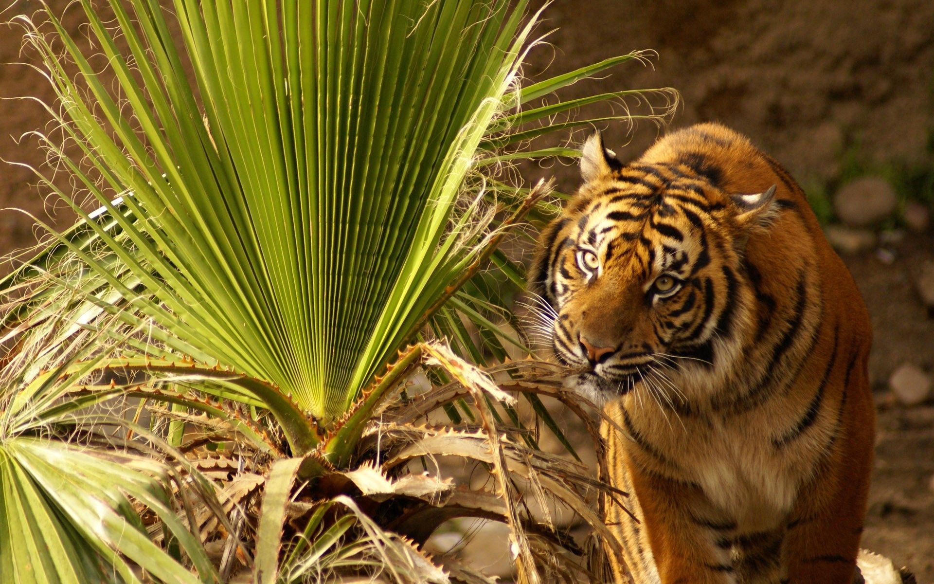 112271 download wallpaper Animals, Tiger, Muzzle, Big Cat, Grass, Hunting, Hunt screensavers and pictures for free