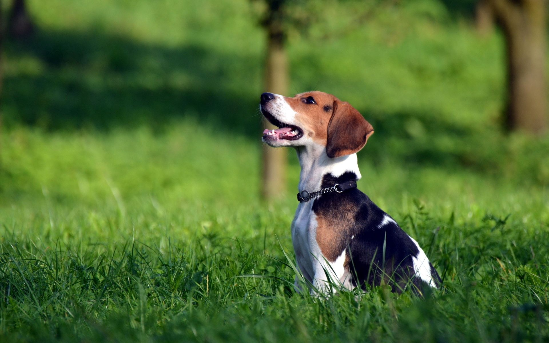 153444 download wallpaper Animals, Beagle, Spotted, Spotty, Grass, Playful, Puppy screensavers and pictures for free