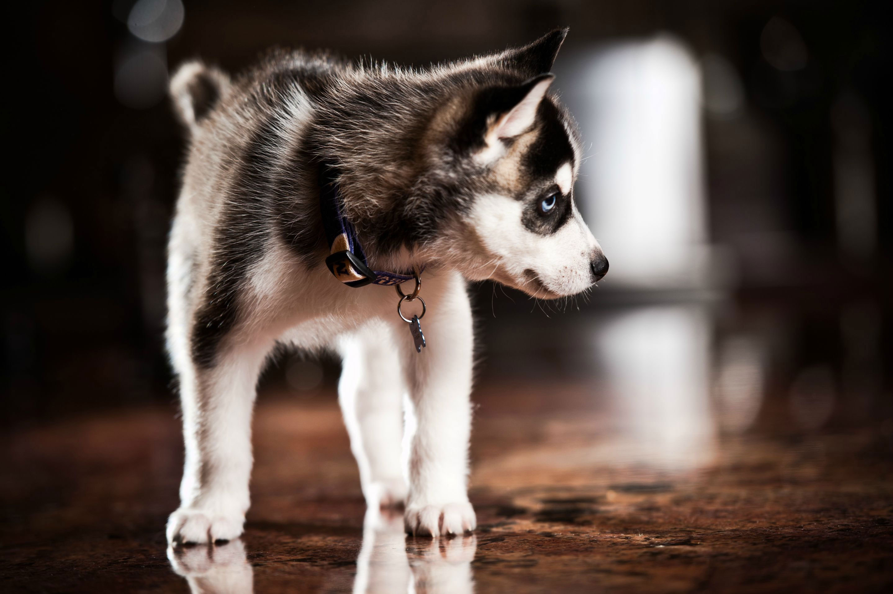 118953 Screensavers and Wallpapers Husky for phone. Download Animals, Dog, Puppy, Husky, Haska, Collar pictures for free
