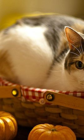 150411 download wallpaper Animals, Cat, To Lie Down, Lie, Basket, Pumpkin, Curiosity screensavers and pictures for free